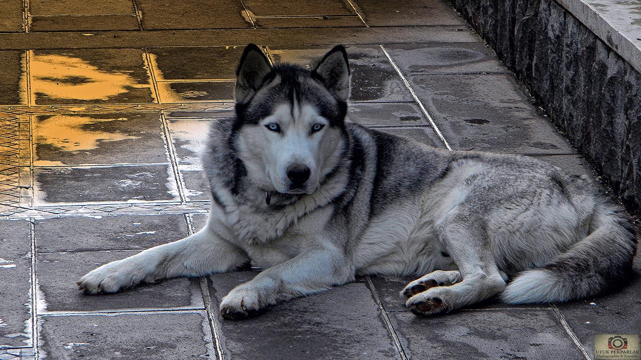 Siberian Husky by ufukpekparlak