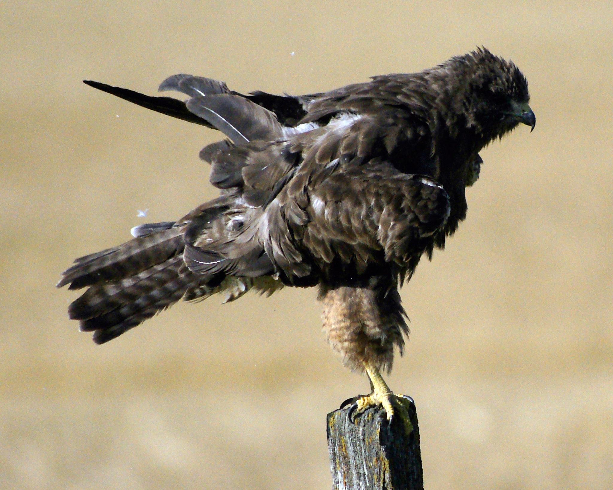 Hawk dusting by volvoman98