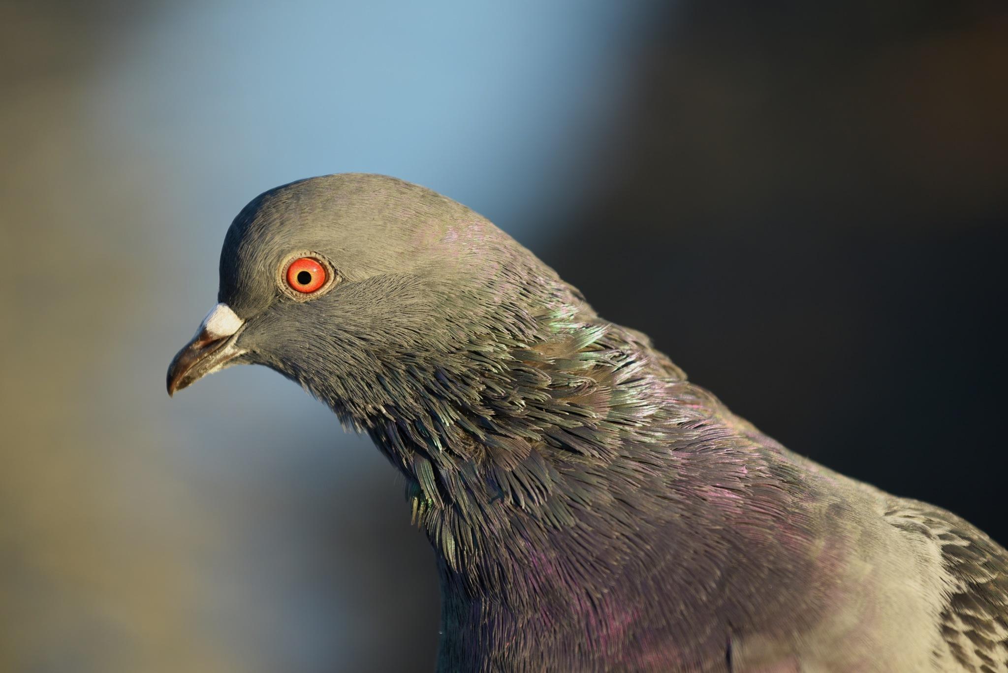 Pigeon portrait by vinland