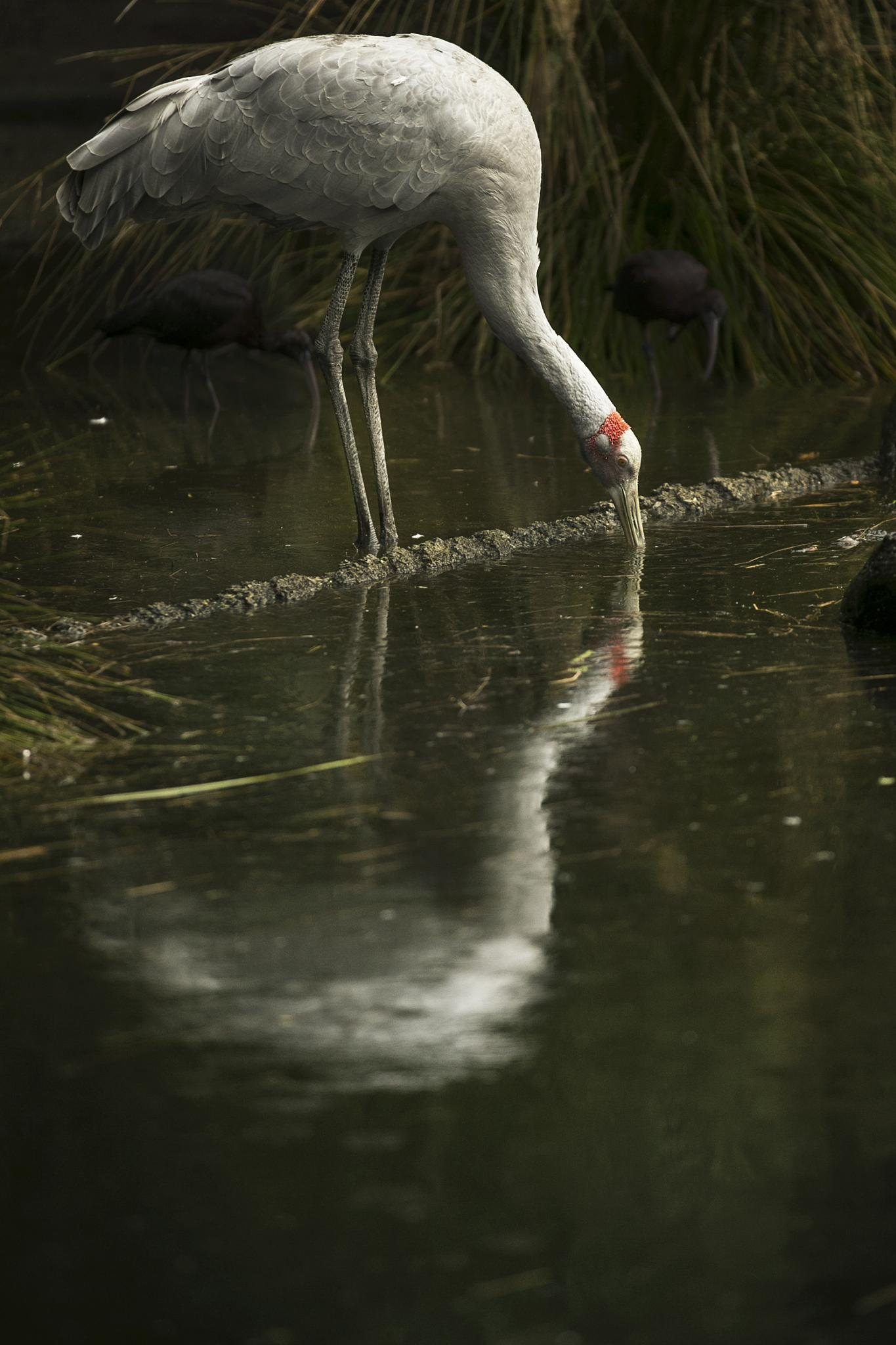 Brolga Reflections by Michelle Foong