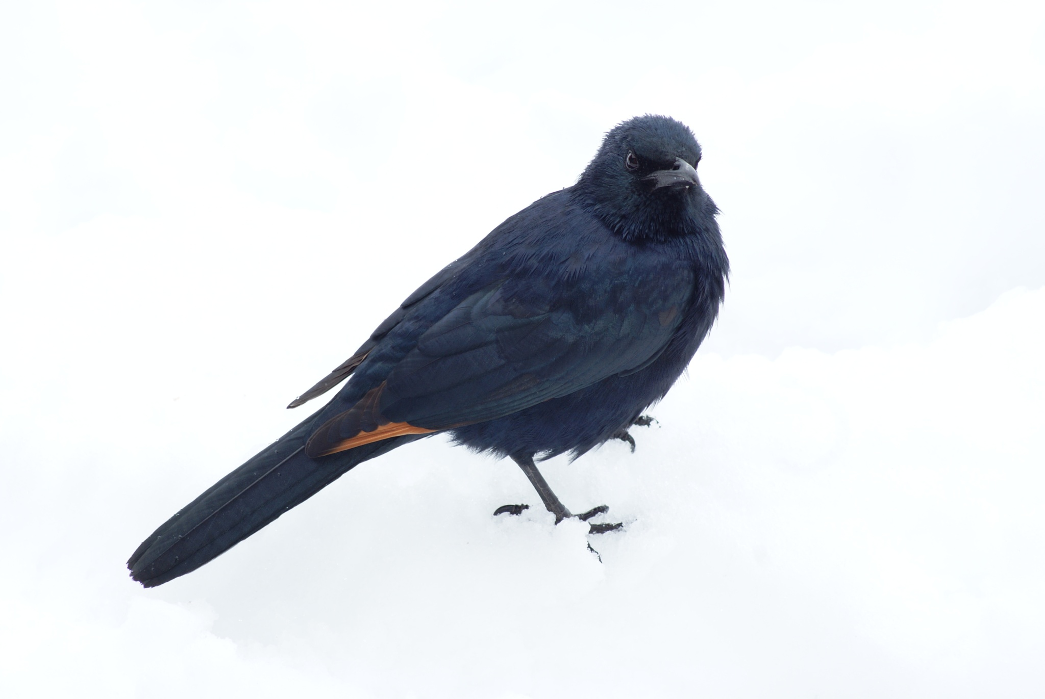 Red Winged Starling Snow by Amanda Kavanagh