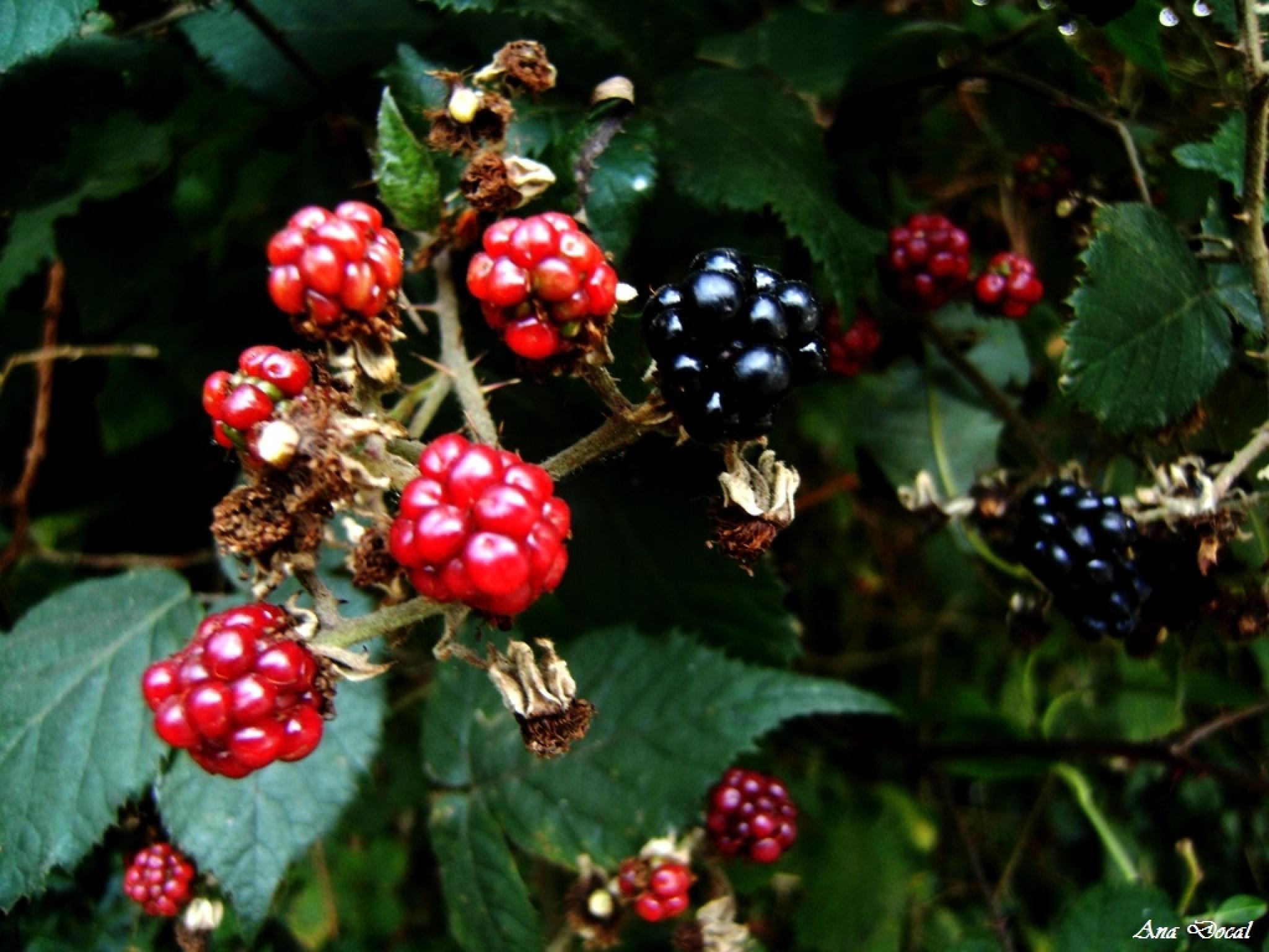 Blackberries...... by Ana Docal