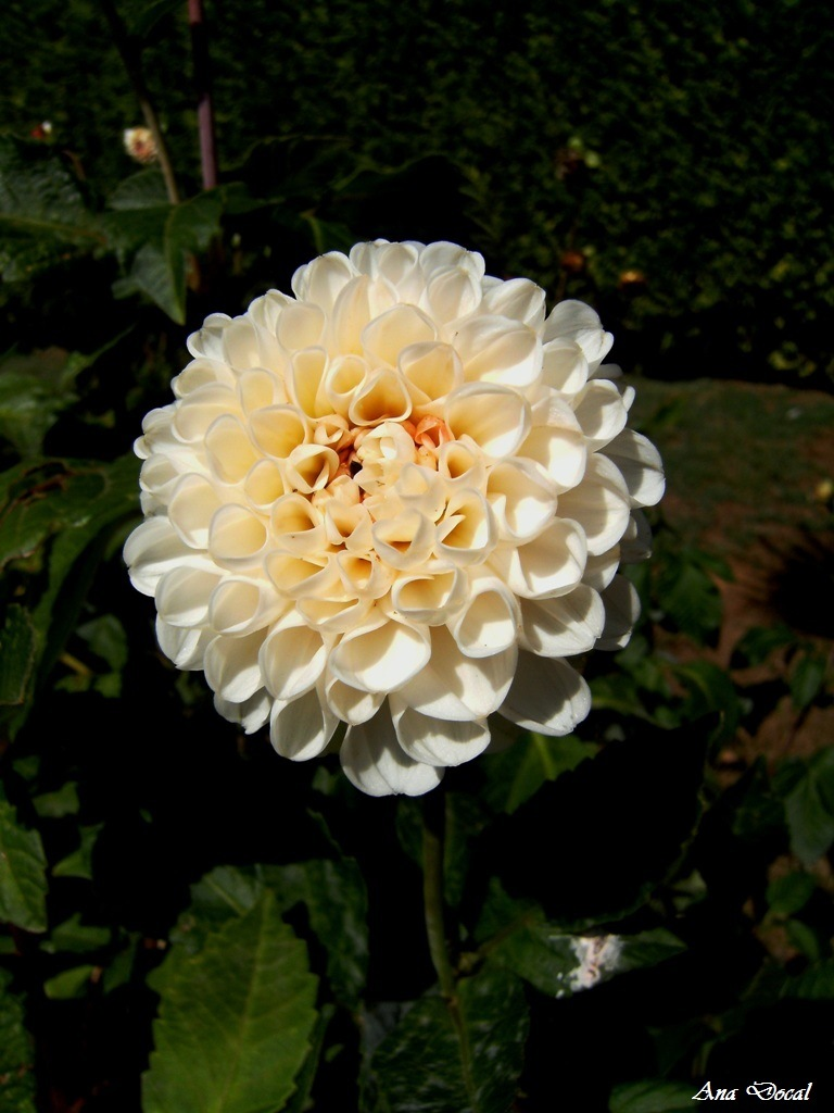 White Dhalia... by Ana Docal
