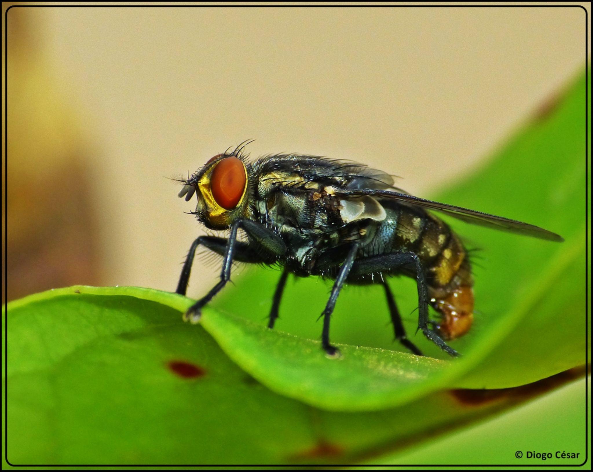 Macro fly by Diogo César