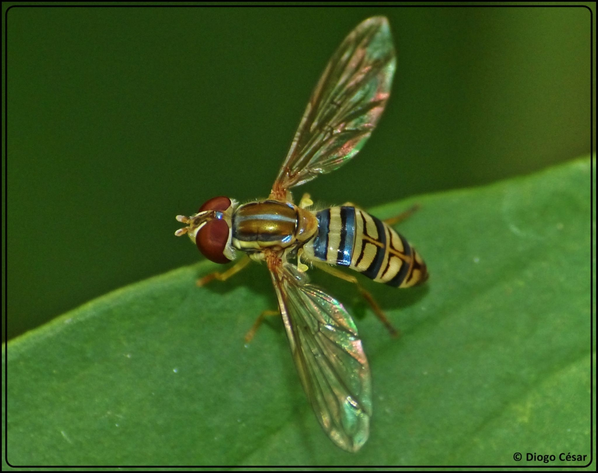 Macro fly by Diogo César