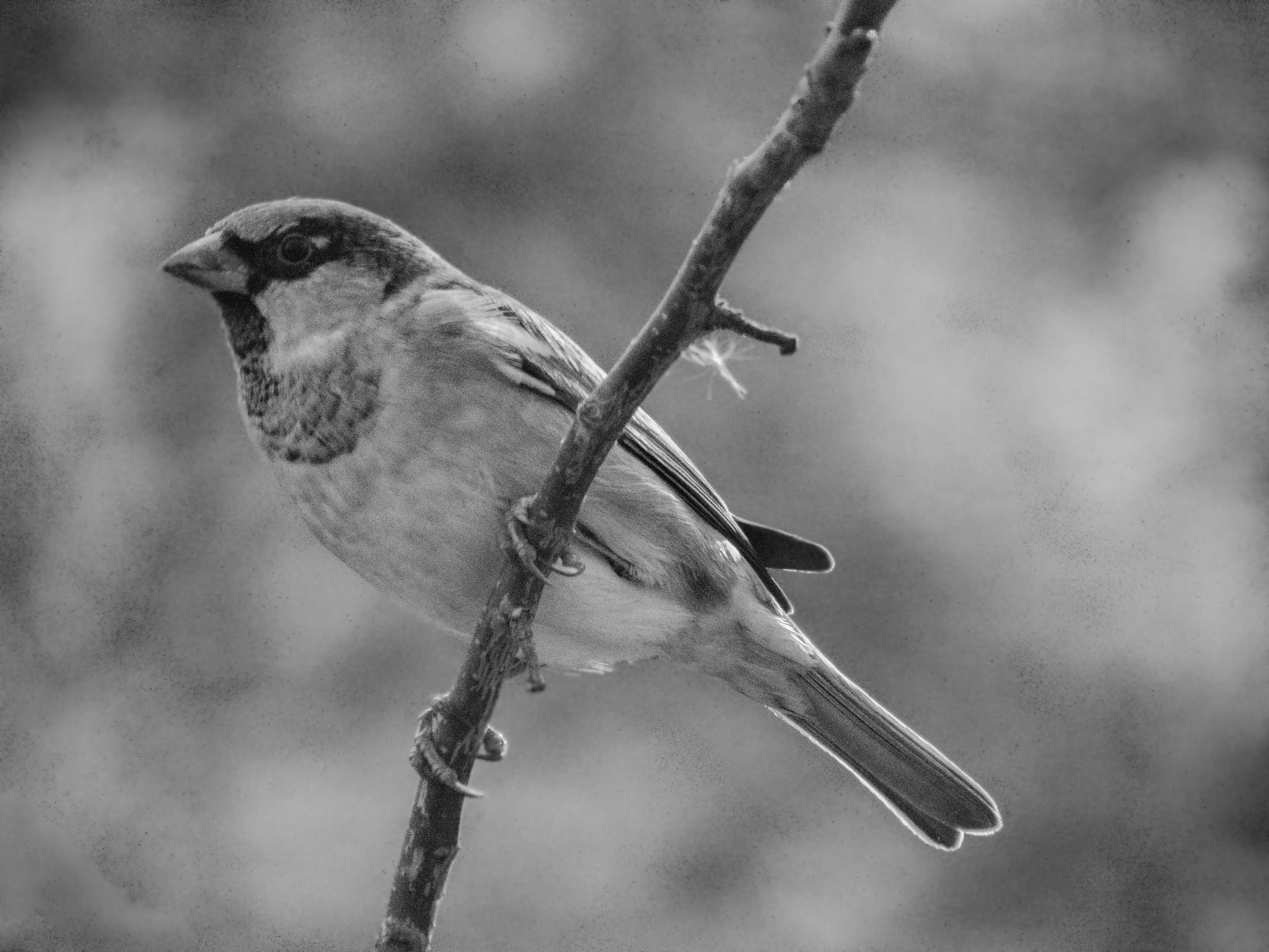 Sparrow in B&W by Bogdan Birleanu