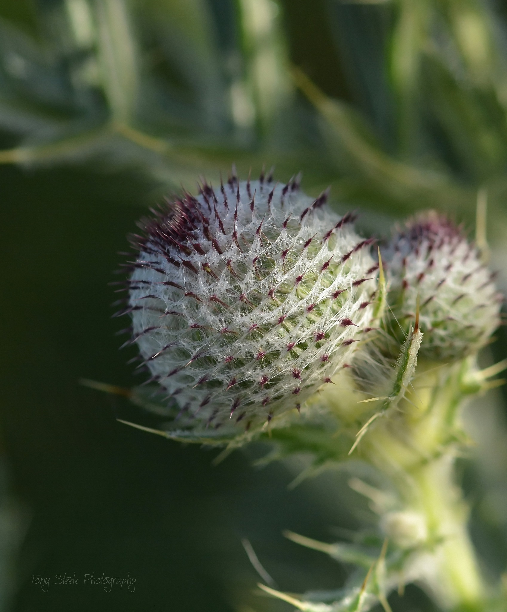 Woolly Thistle by Tony Steele