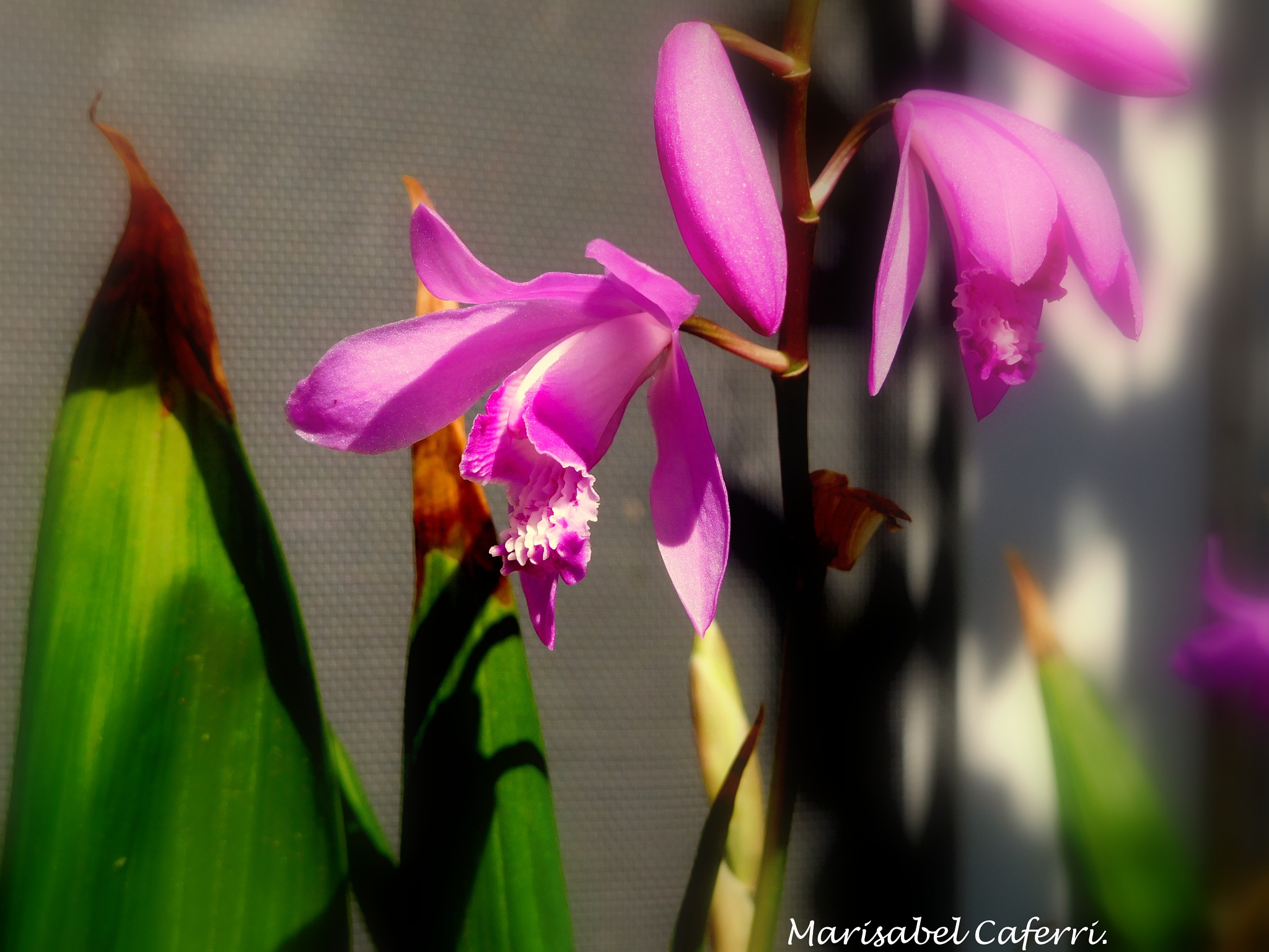 Orquideas terrestres. by marisabelcaferri