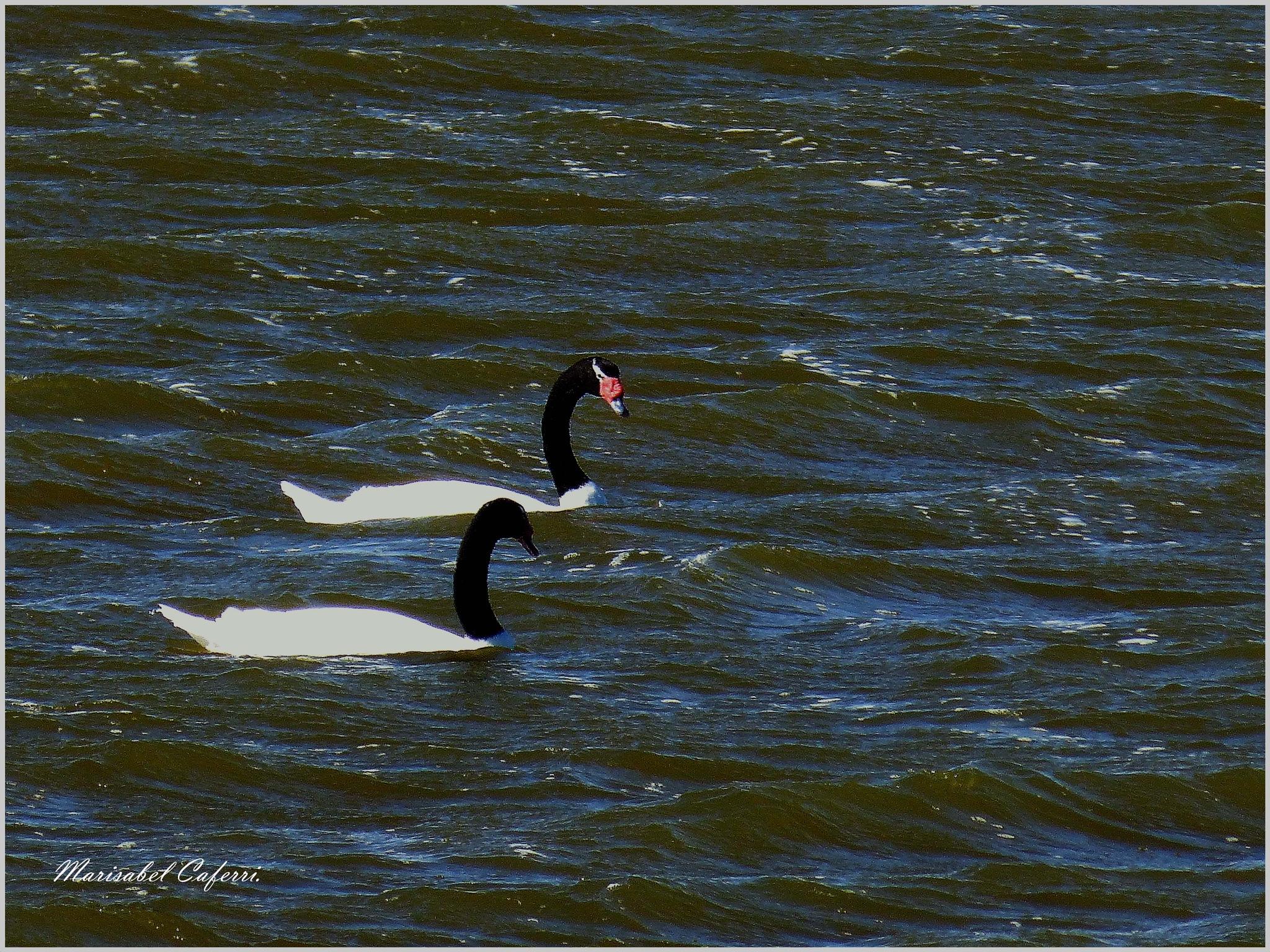 Cisnes de cuello negro. by marisabelcaferri
