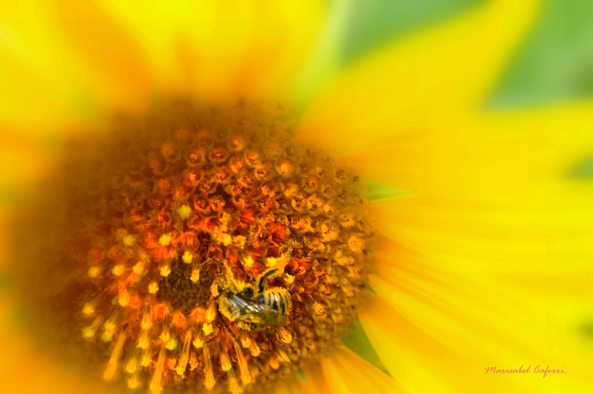 The sunflower and the bee. by marisabelcaferri