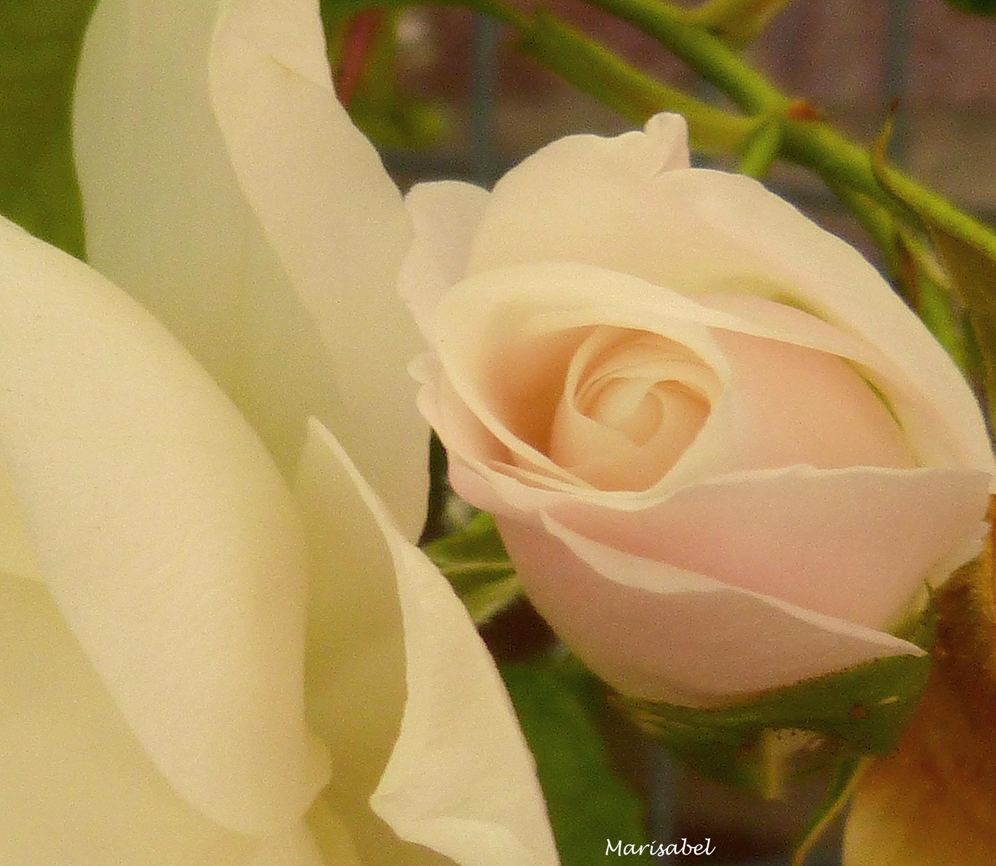 Rosas blancas.... by marisabelcaferri