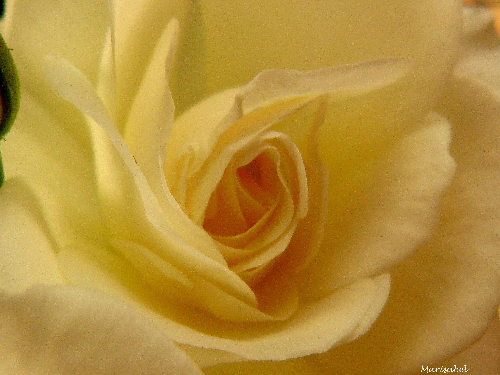 pimpollo de rosa blanca..... muy bella ! by marisabelcaferri