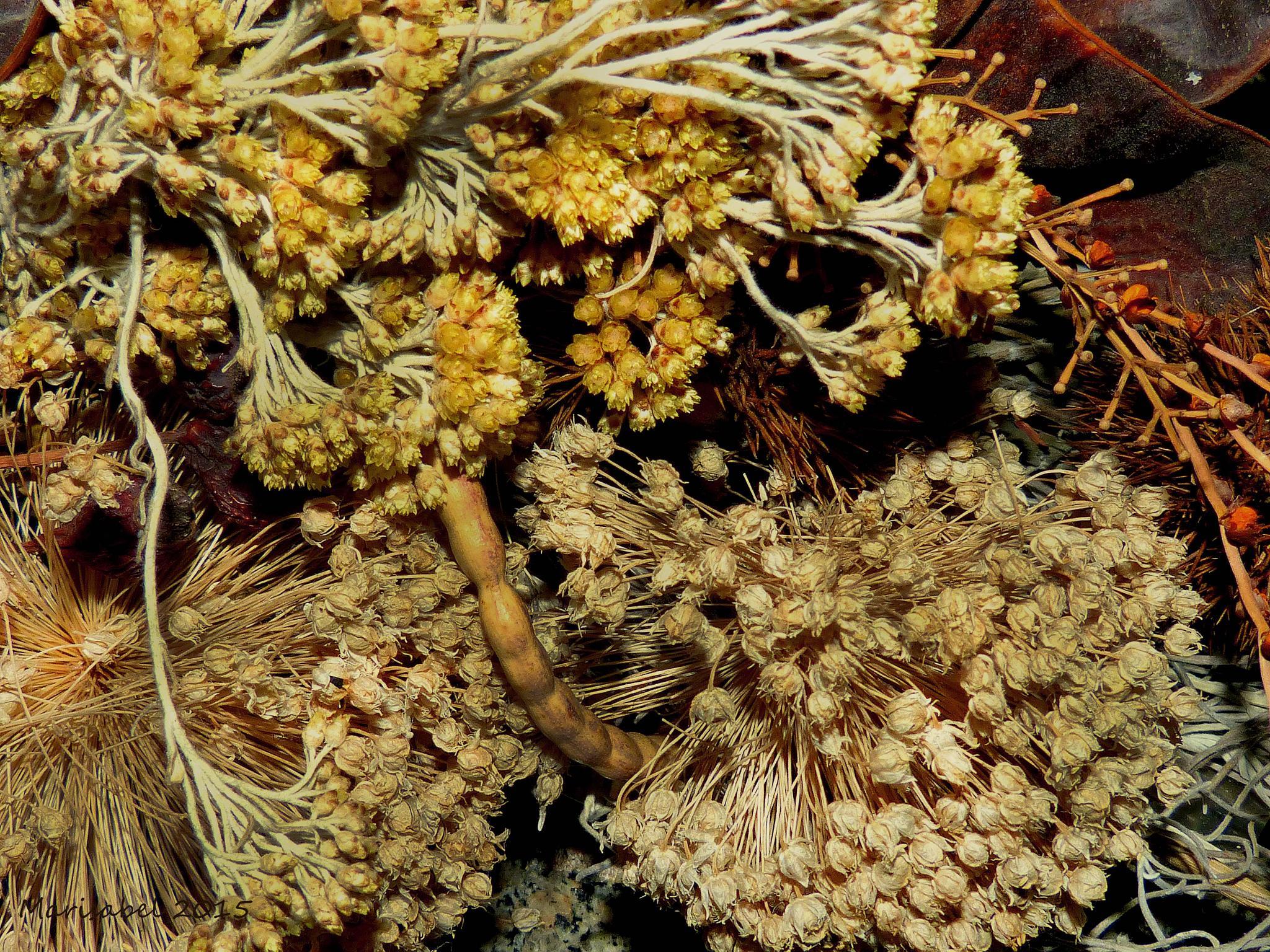 Flores secas de invierno. by marisabelcaferri