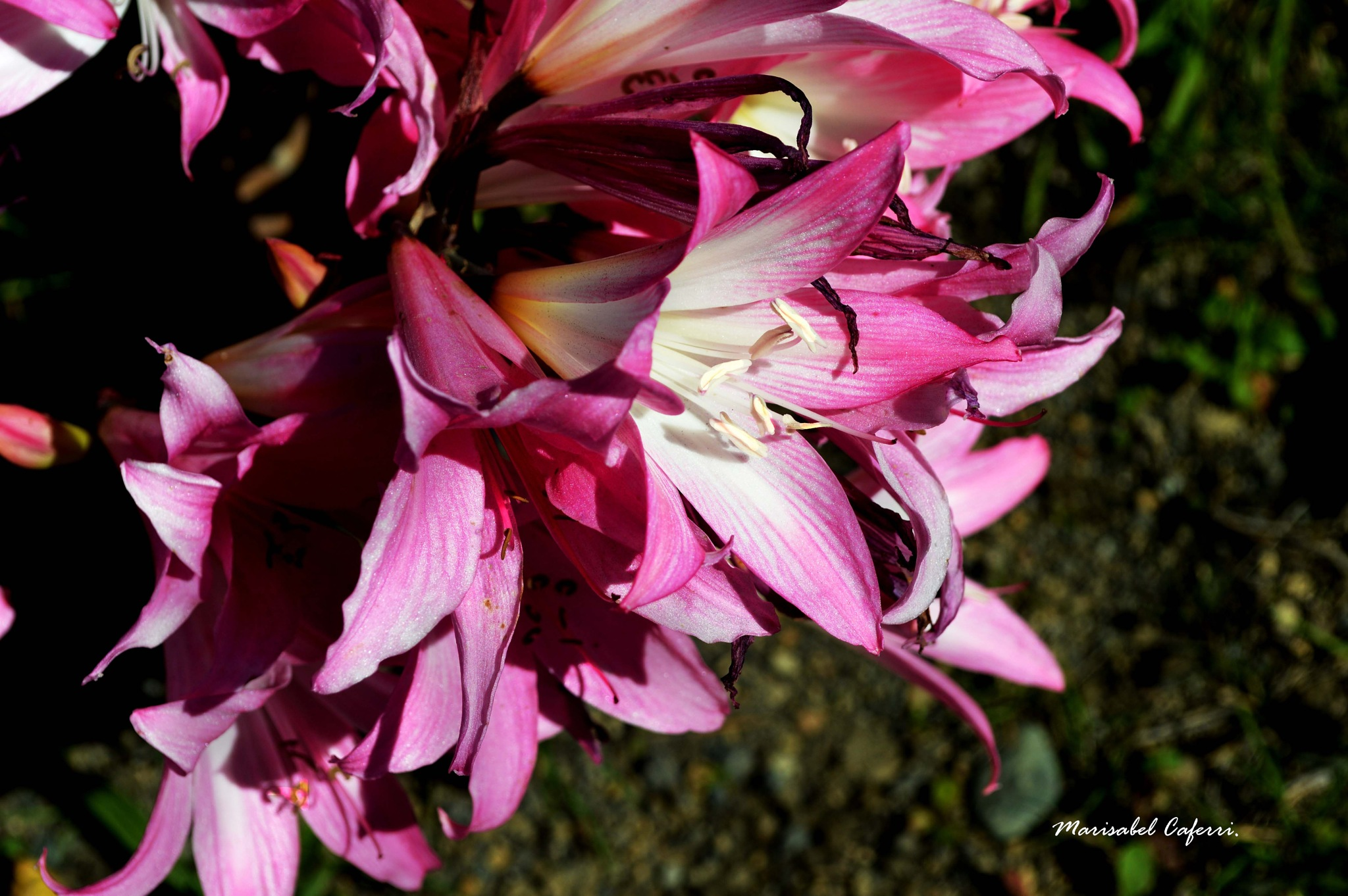 Azucenas rosas. by marisabelcaferri