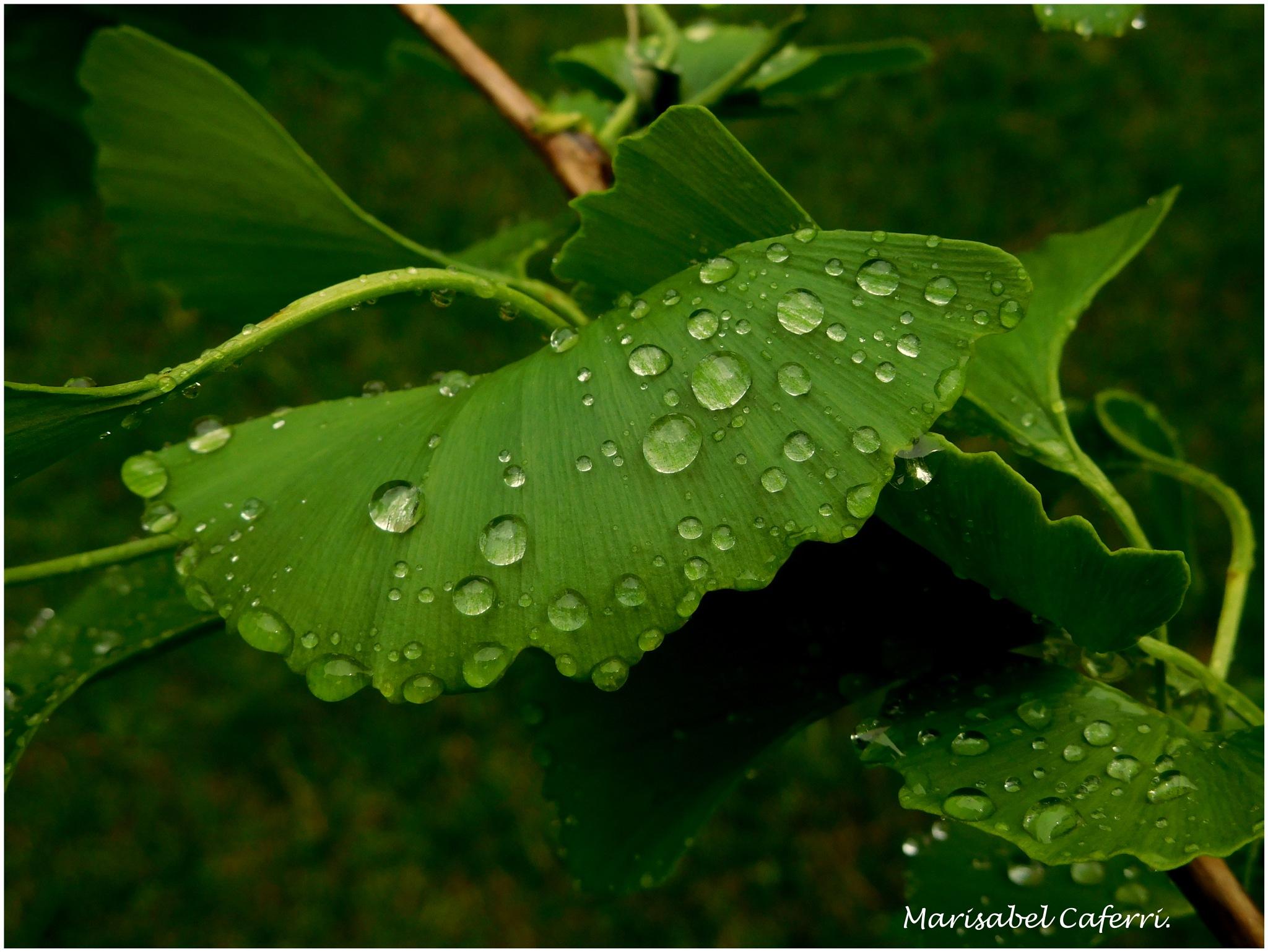 Gyngko Biloba despues de la lluvia. by marisabelcaferri