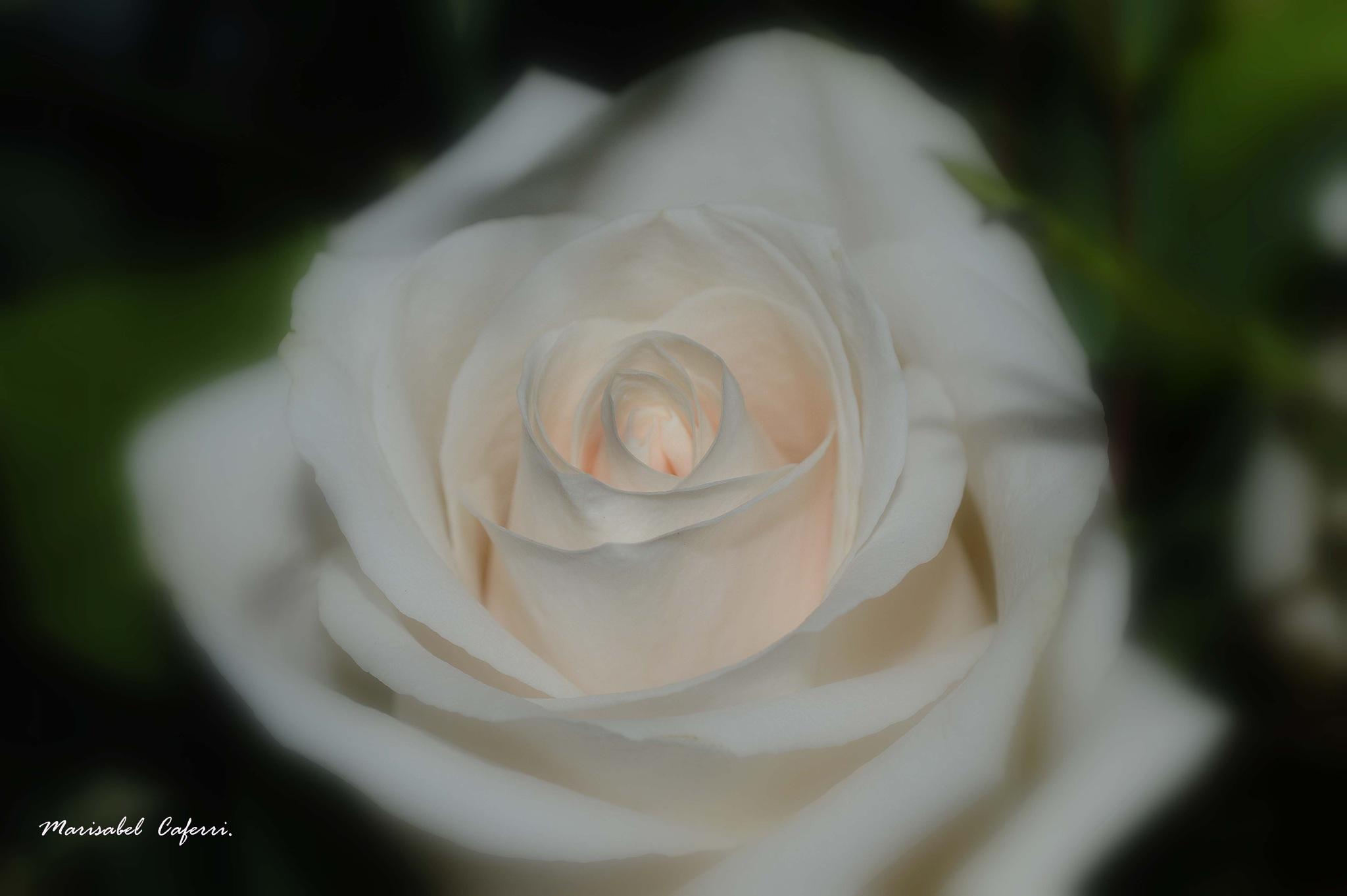 Tiempo de rosas ... by marisabelcaferri