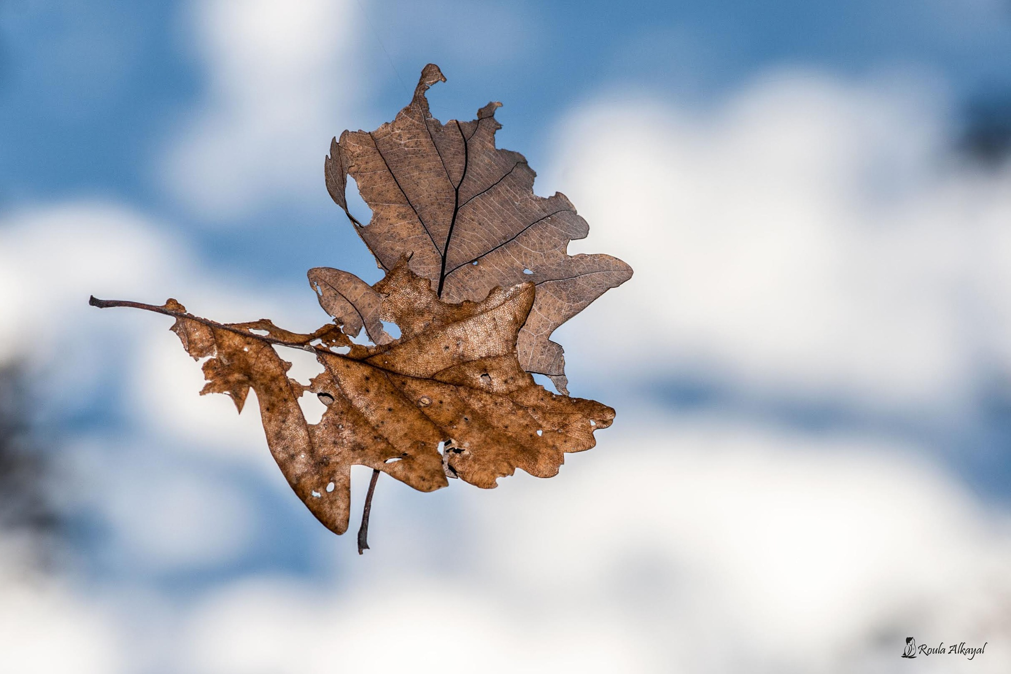 leaf by Roula Kayal