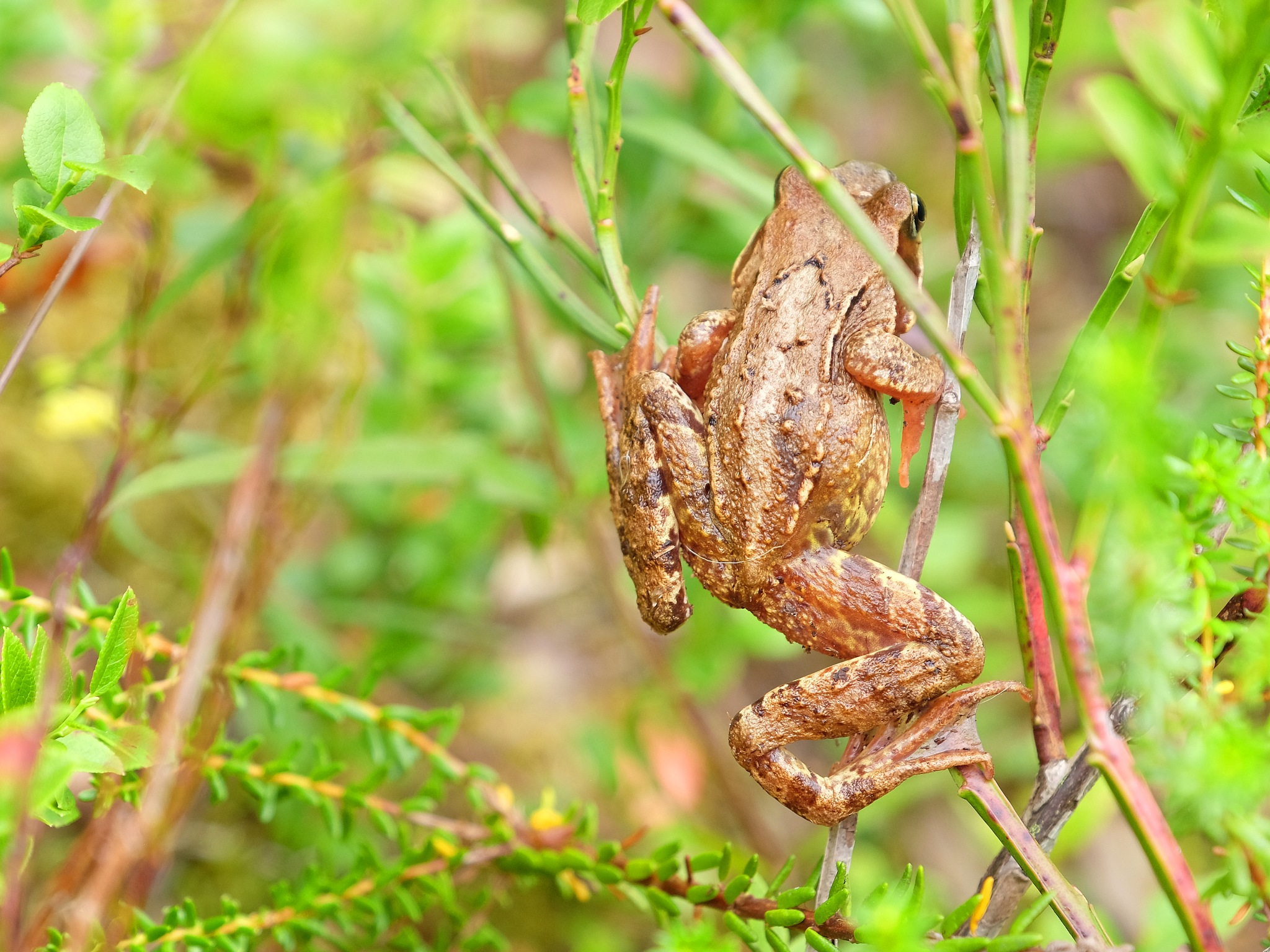 Climbing Frog by Jan Arvid Solem