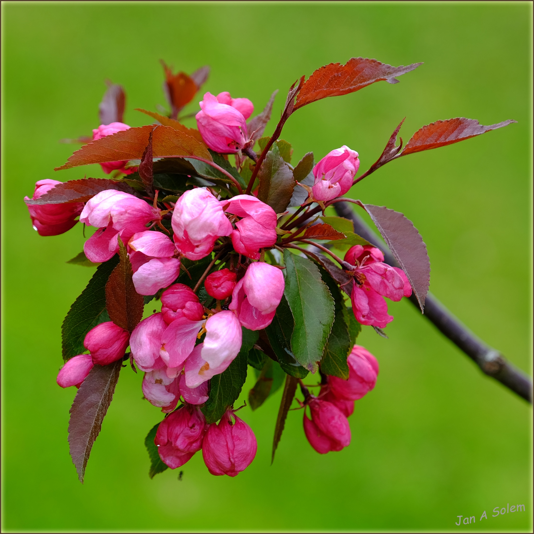 Flowering crab apple tree by Jan Arvid Solem