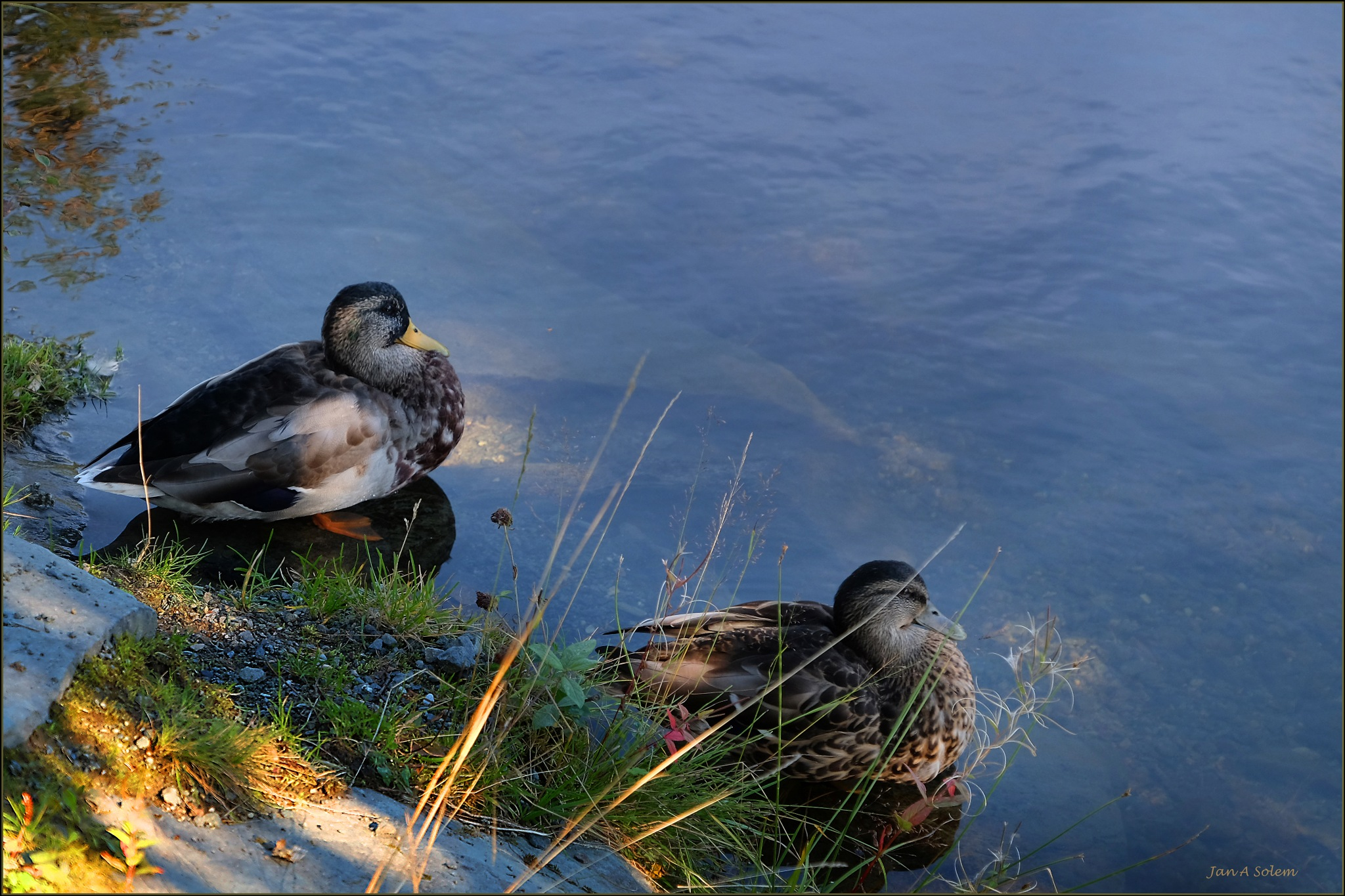 Wild Duck Couple by Jan Arvid Solem