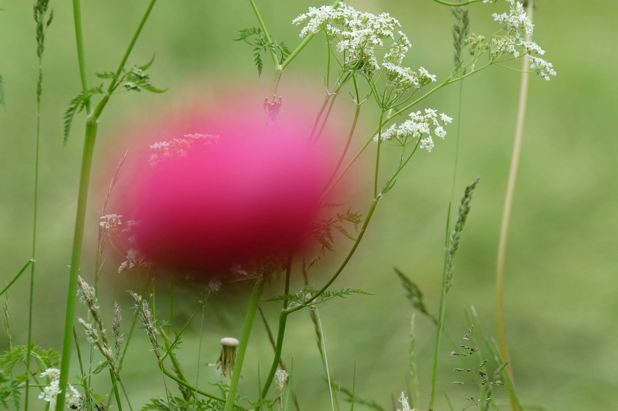 Just a Peony by Jan Arvid Solem