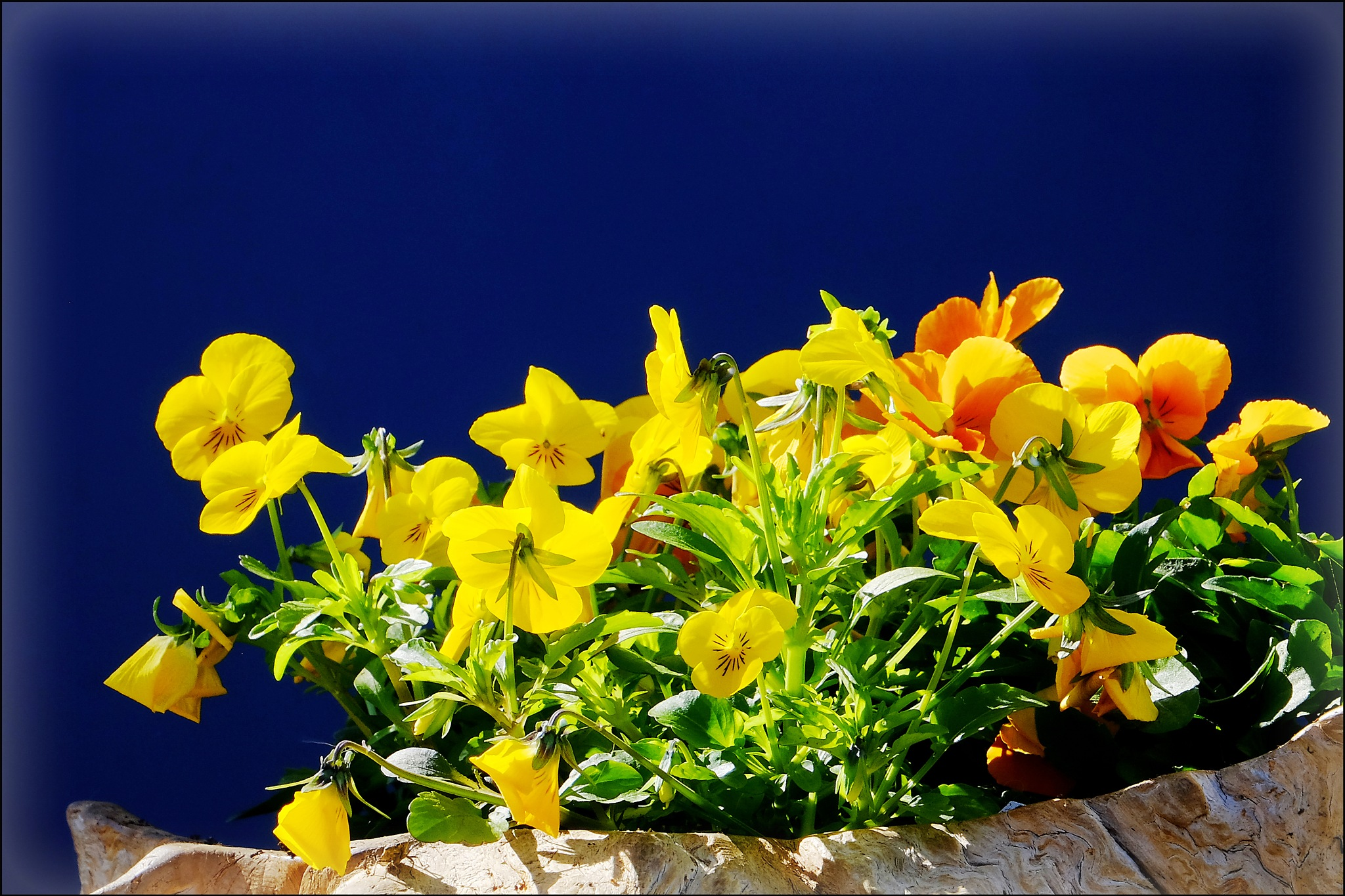 Yellow Pansies & Blue by Jan Arvid Solem