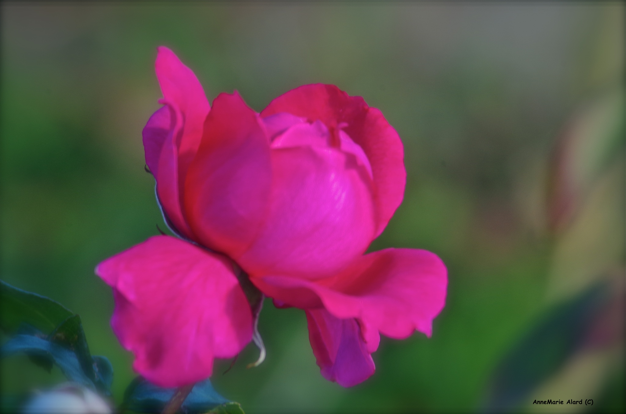Rose by annemariealard