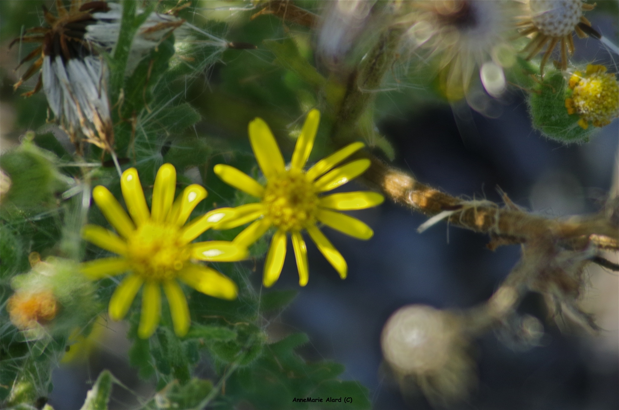 Little yellow flower by annemariealard