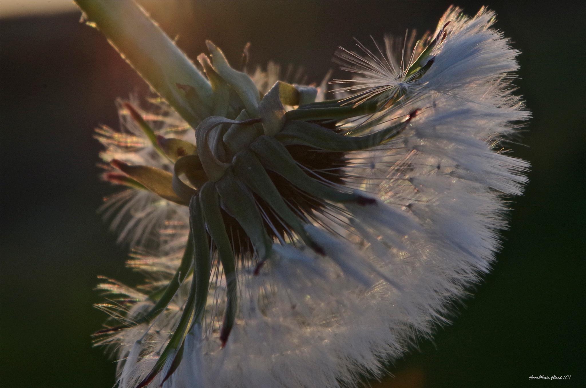 One of my favorit flowers again....... by annemariealard