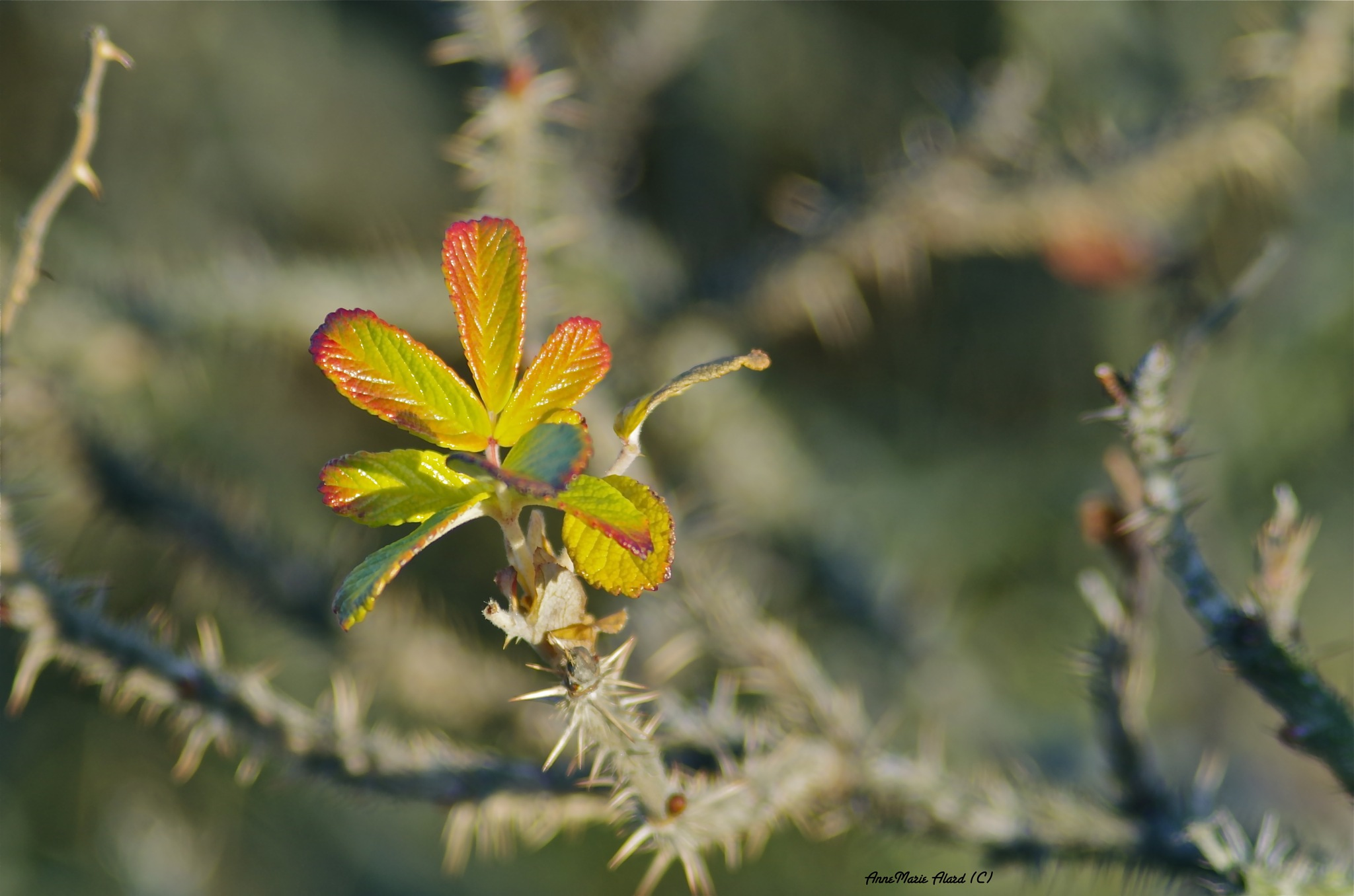 Wildrose by annemariealard