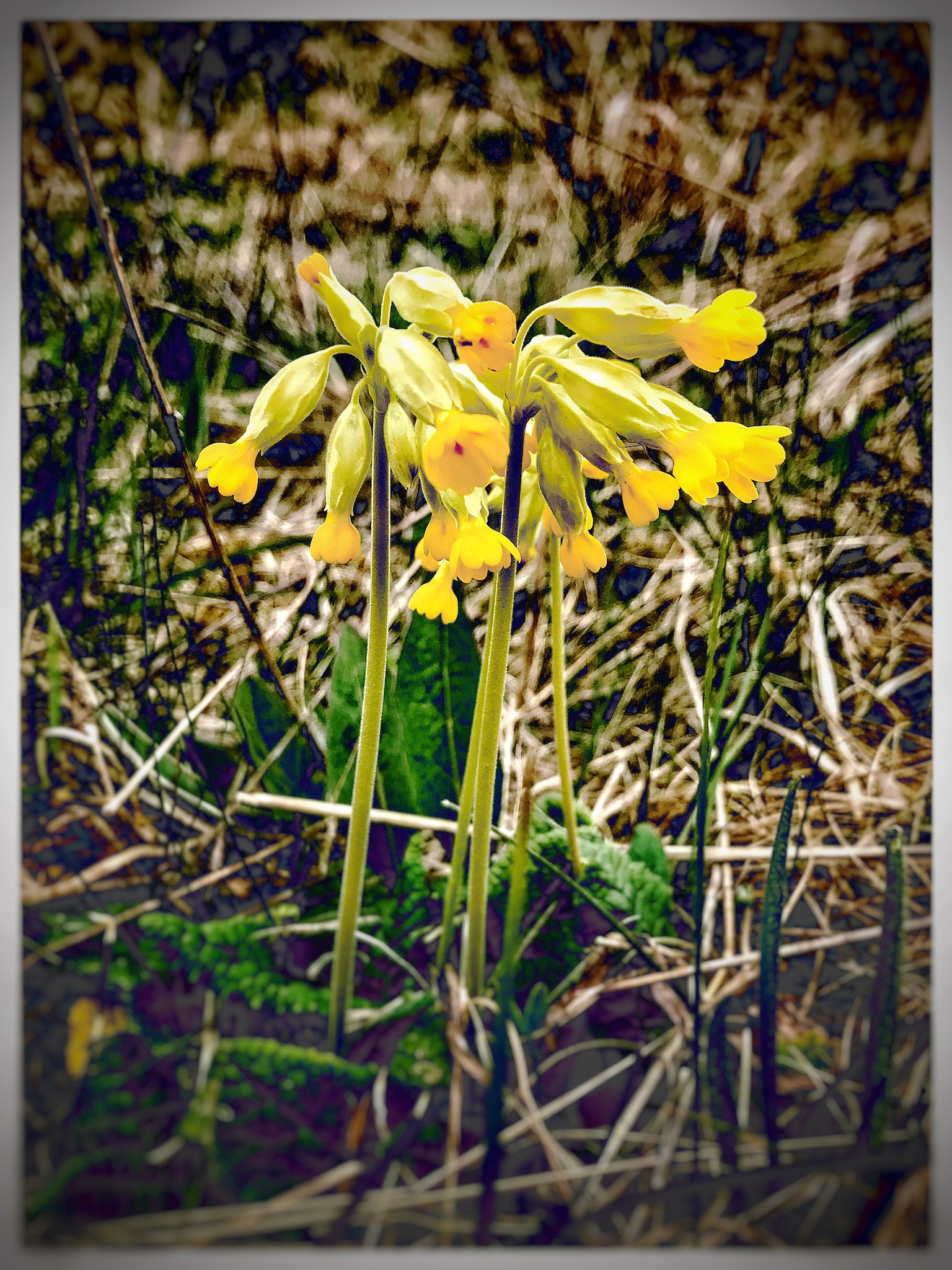 Cowslips  by Andrew Menzies
