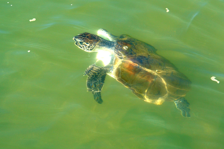 Sea  turtle by Marie Asmar