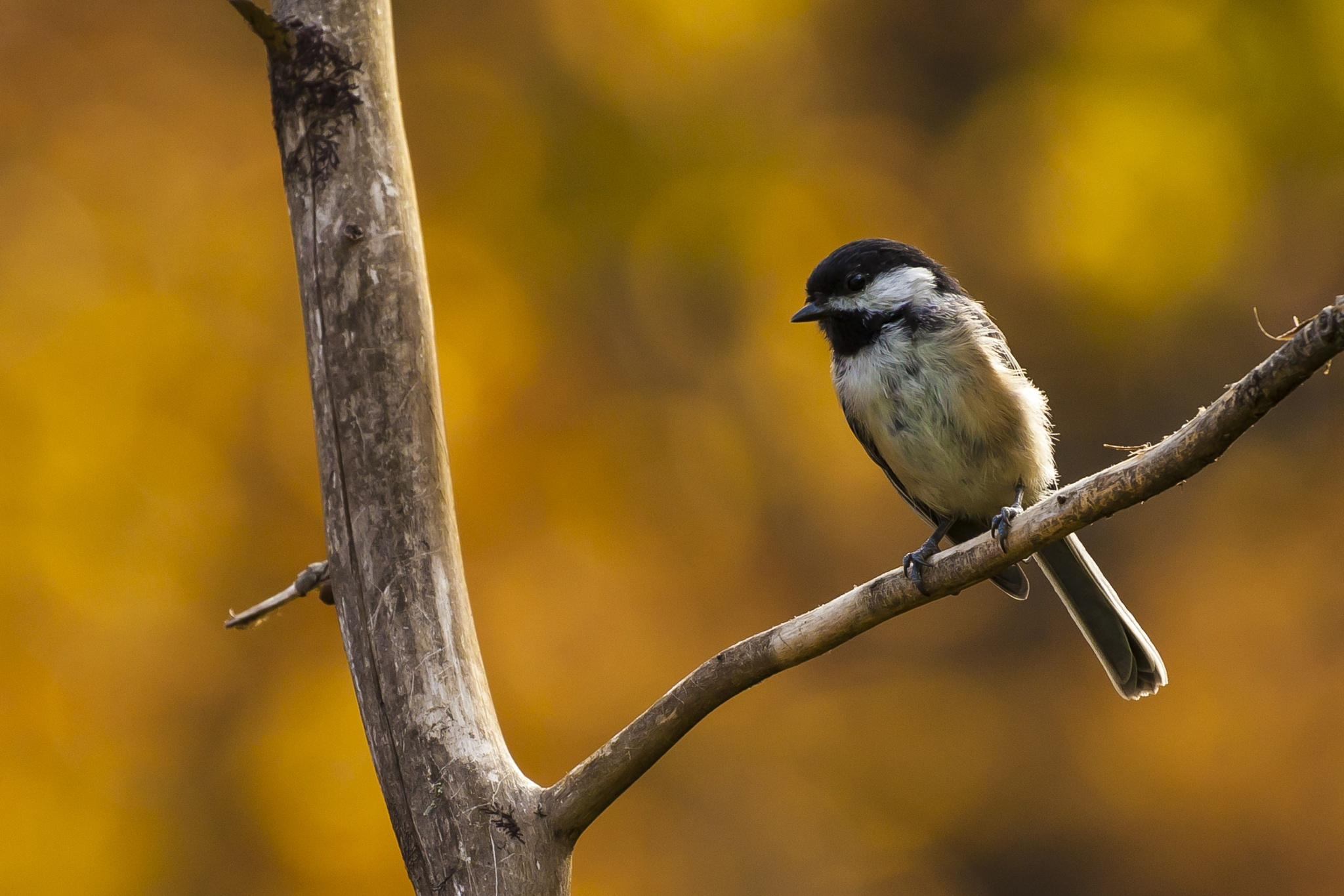 Black-Capped Chickadee in Autumn by guyplarin