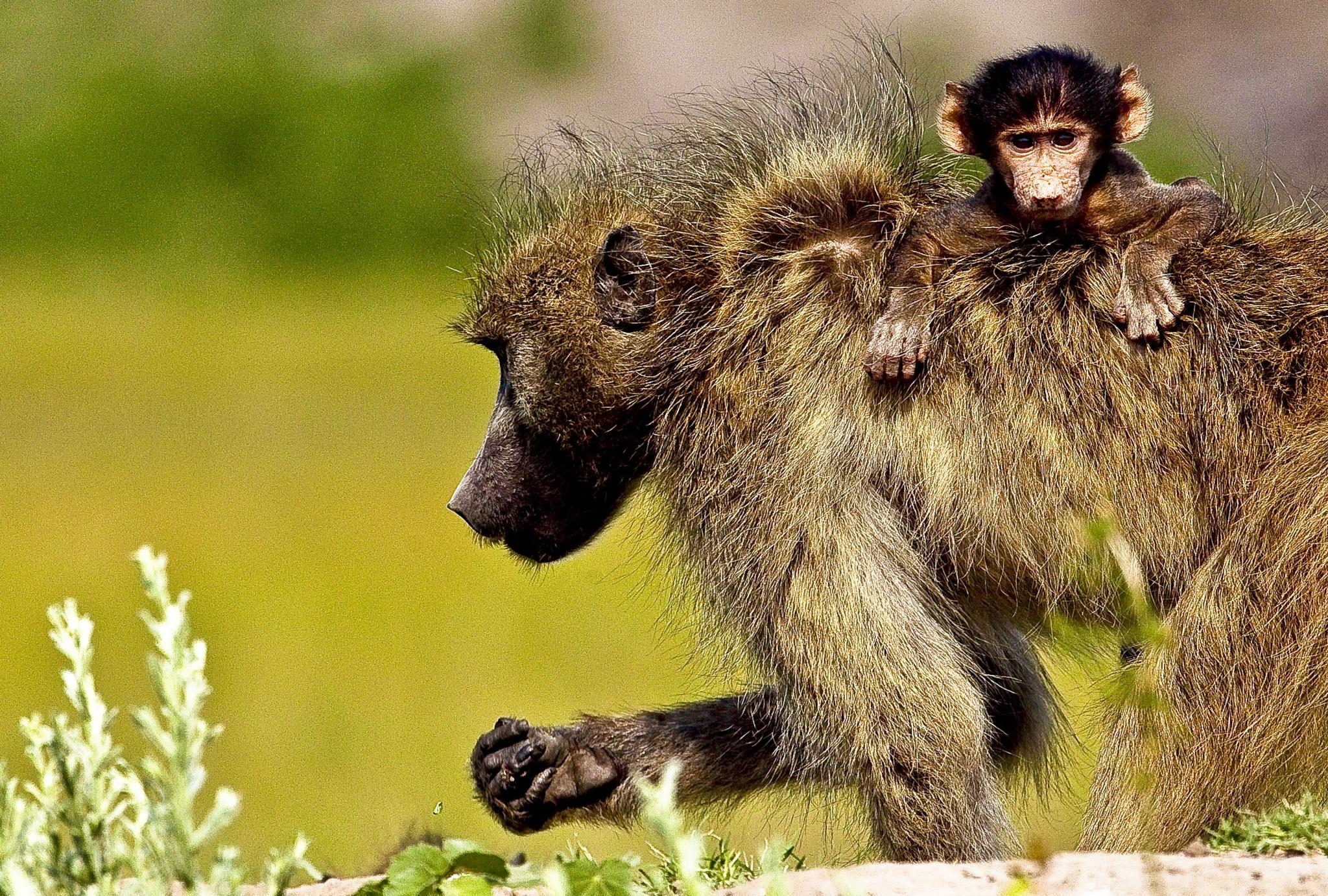 Curious Baboon by guyplarin