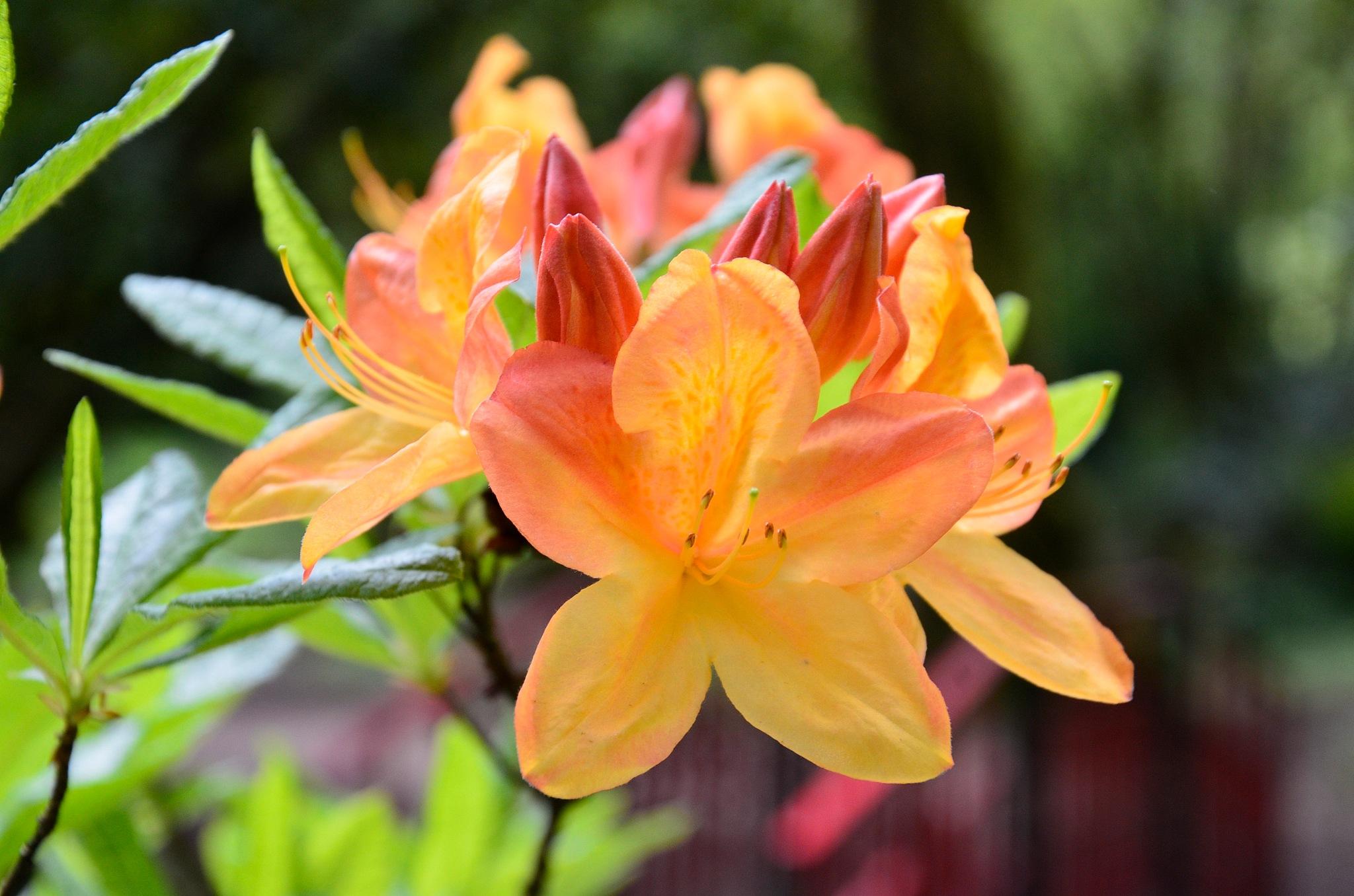 rhododendron by melaniehartshorn40
