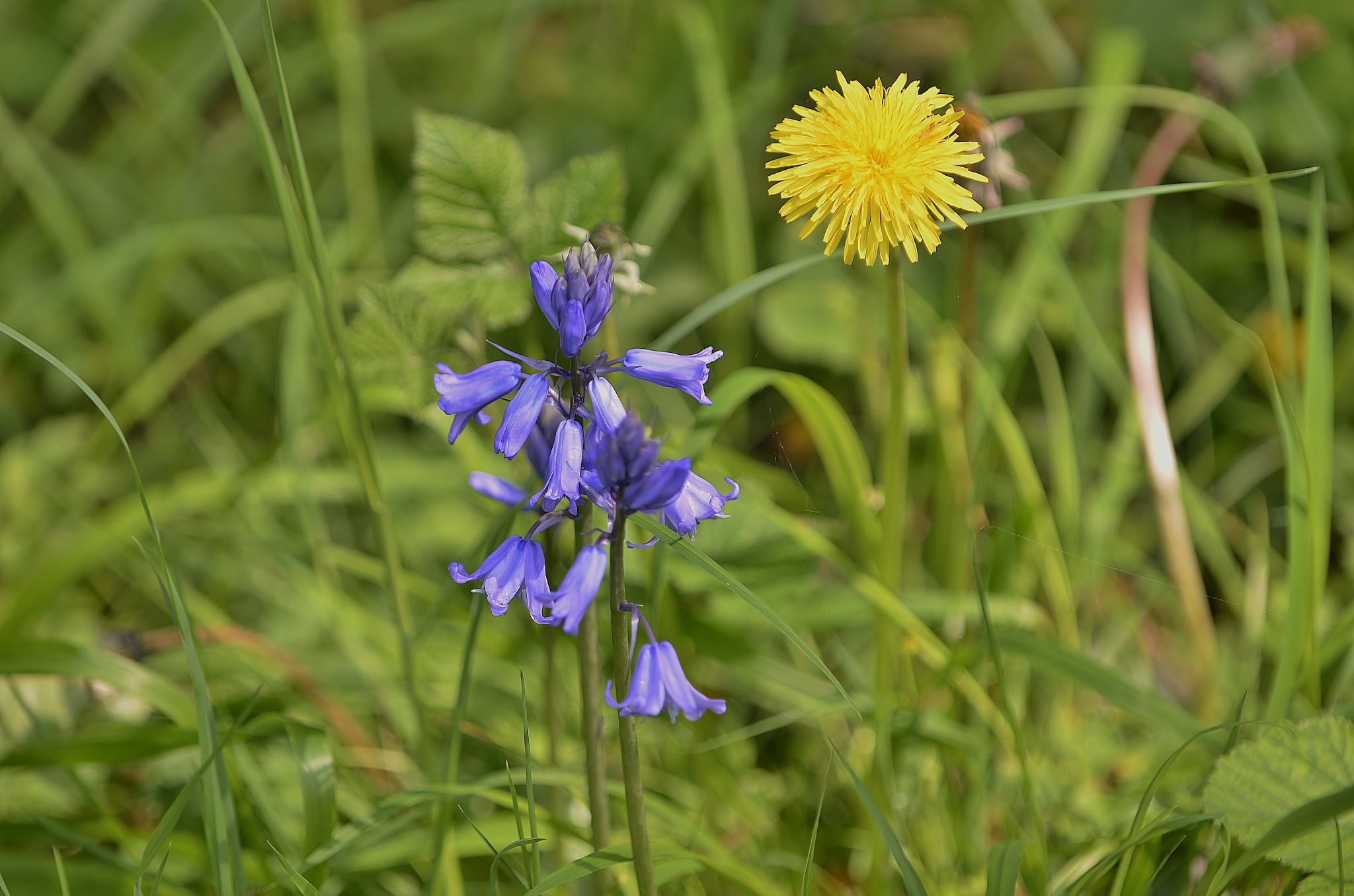 Bluebell and Dandelion by melaniehartshorn40