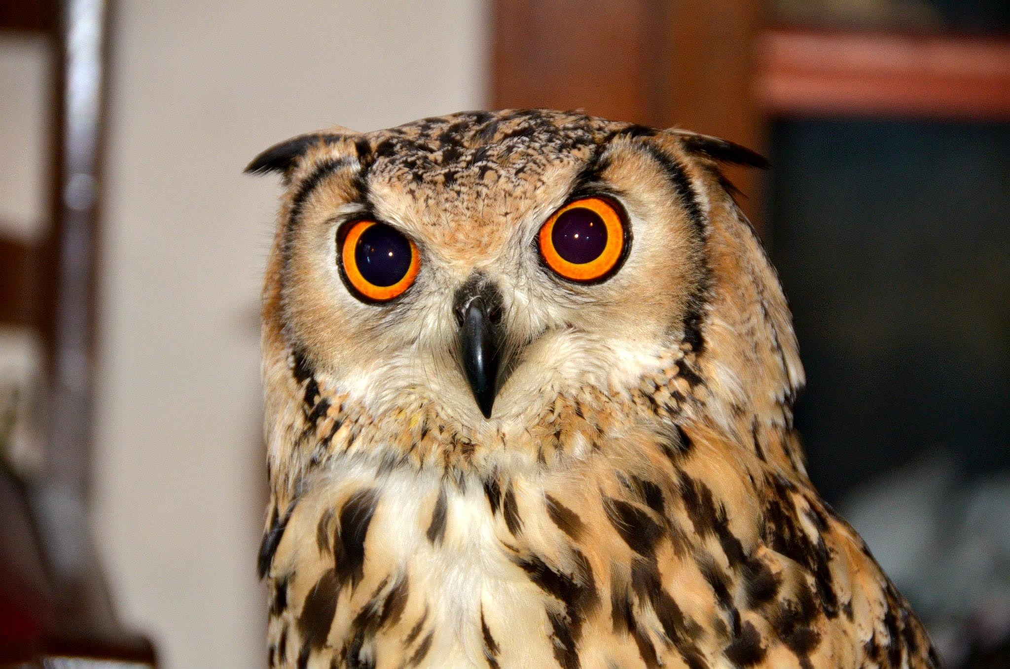European Eagle Owl  by melaniehartshorn40