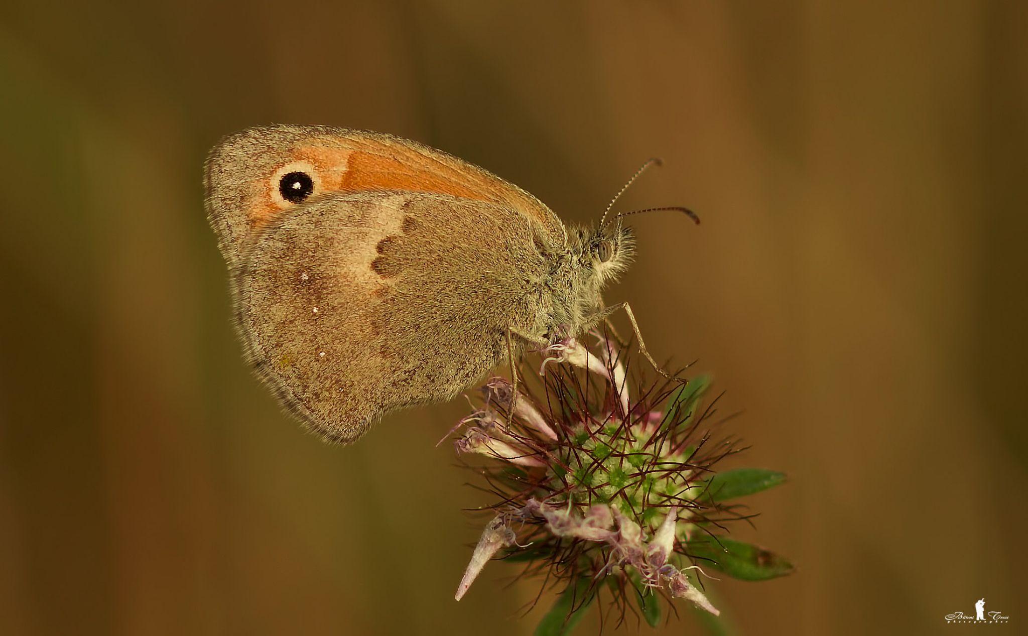 kelebek aşkı by bulentterzi5