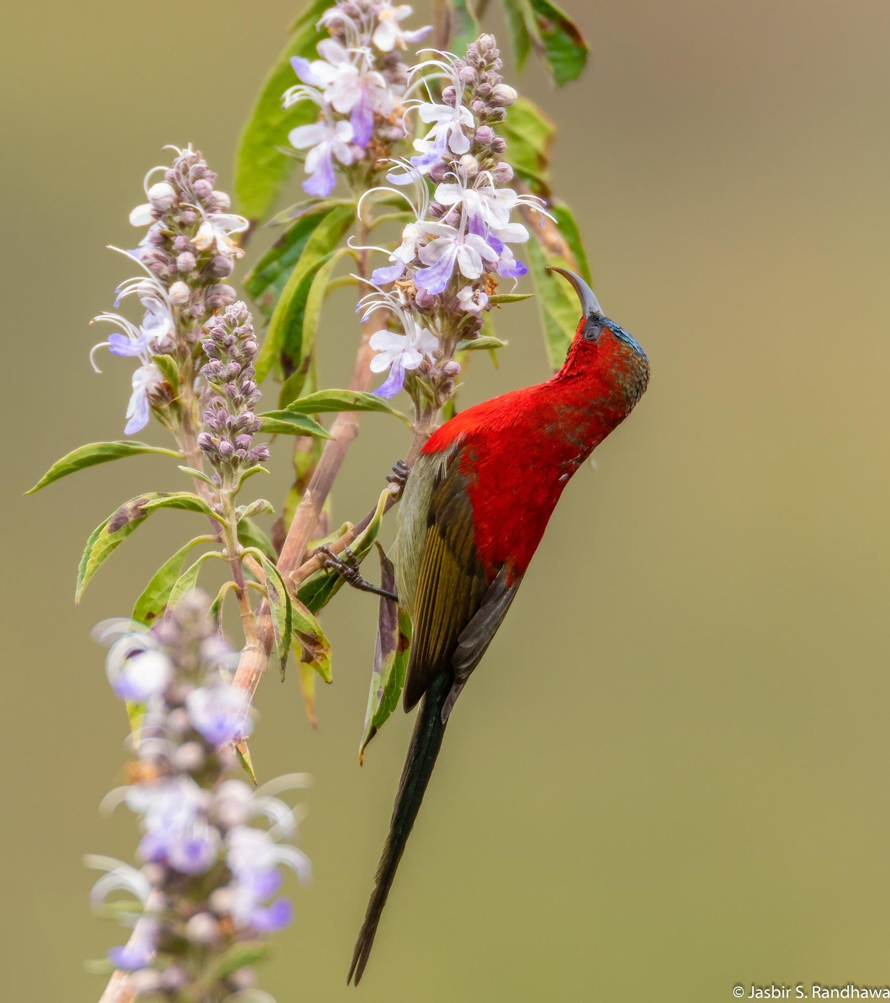 Crimson Sunbird, male (Aethopyga siparaja) by Jasbir S. Randhawa