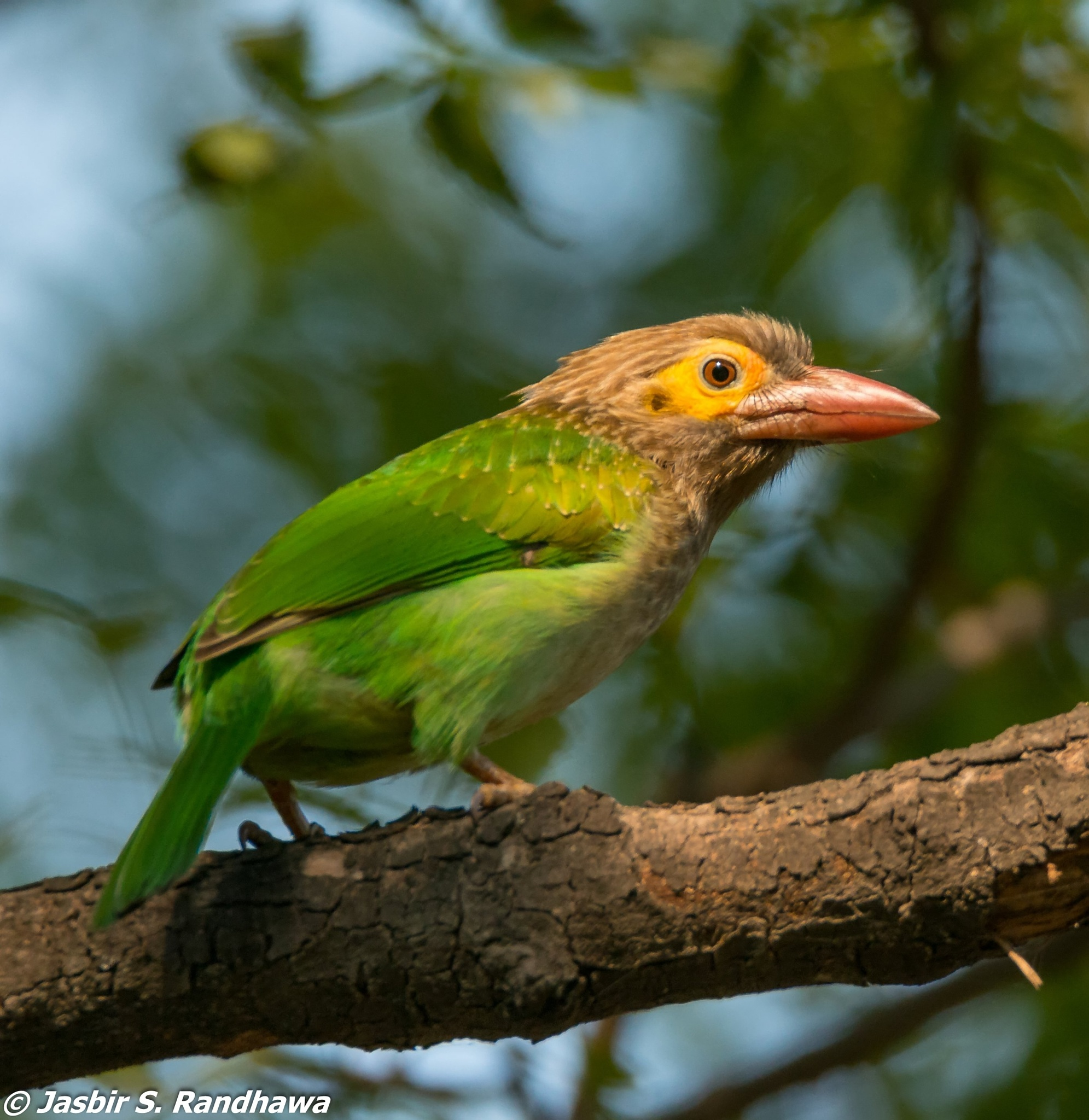 Brown-headed Barbet (Megalaima zeylanica) by Jasbir S. Randhawa