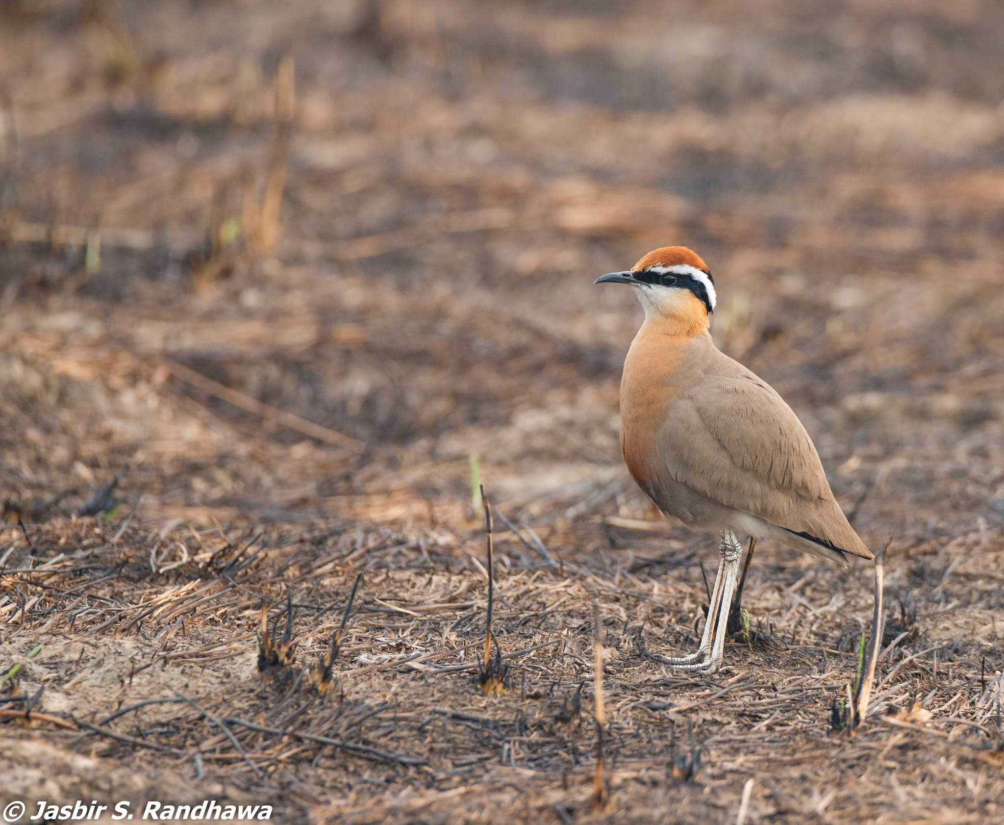 Indian Courser (Cursorius coromandelicus) by Jasbir S. Randhawa