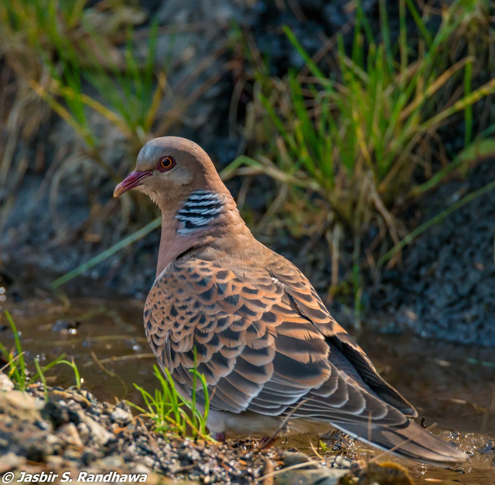 Oriental Turtle Dove (Streptopelia orientalis) by Jasbir S. Randhawa
