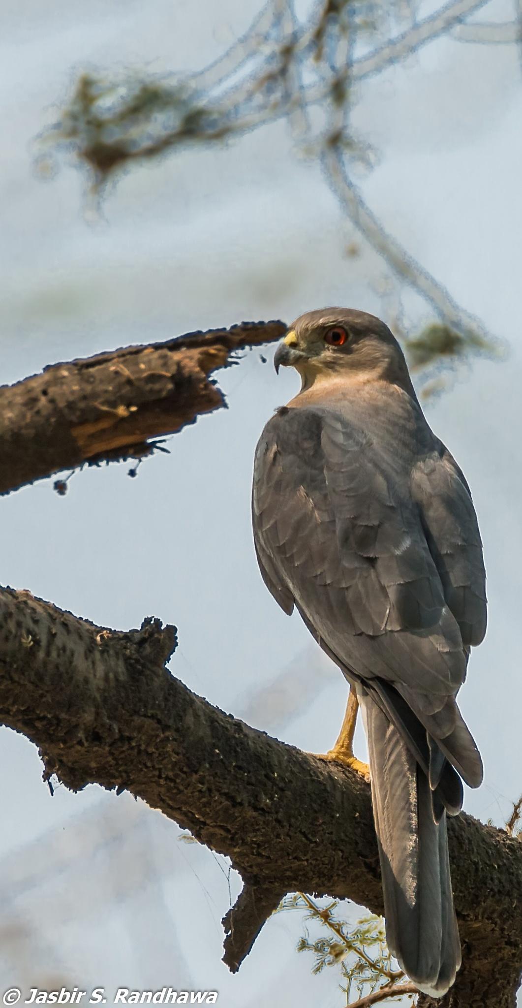 Male Shikra (Accipiter badius) by Jasbir S. Randhawa