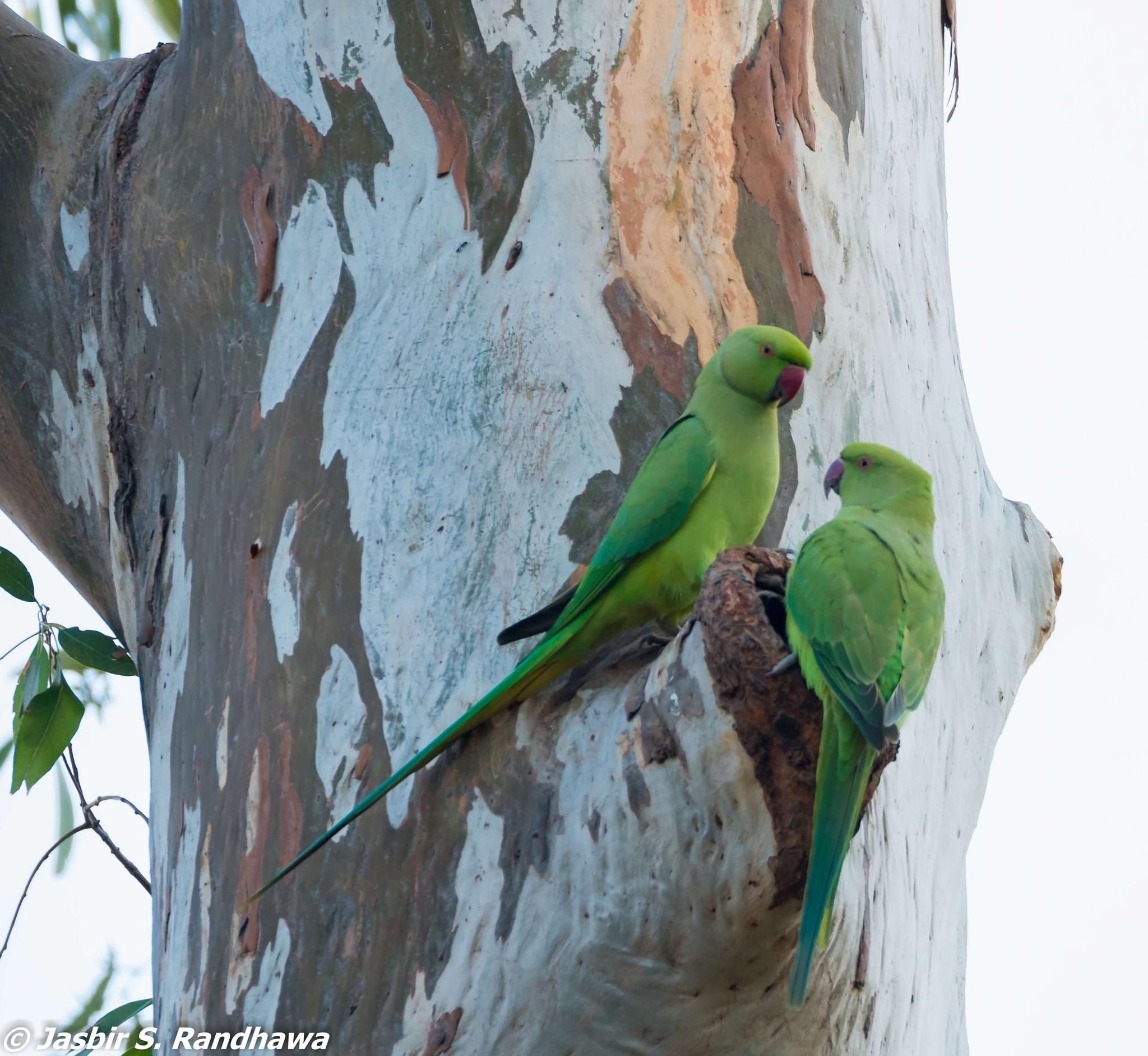 Rose-ringed Parakeets (Psittacula krameri) by Jasbir S. Randhawa