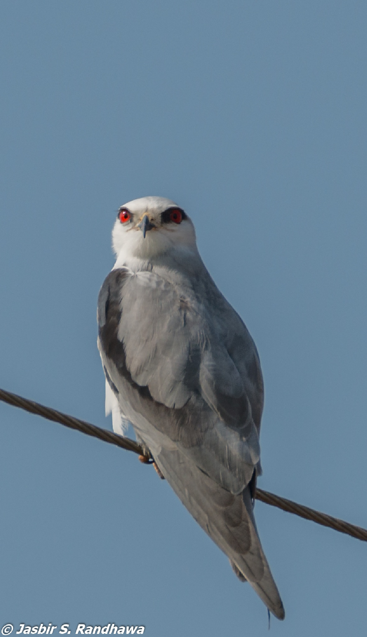 Black-winged Kite (Elanus caeruleus) by Jasbir S. Randhawa