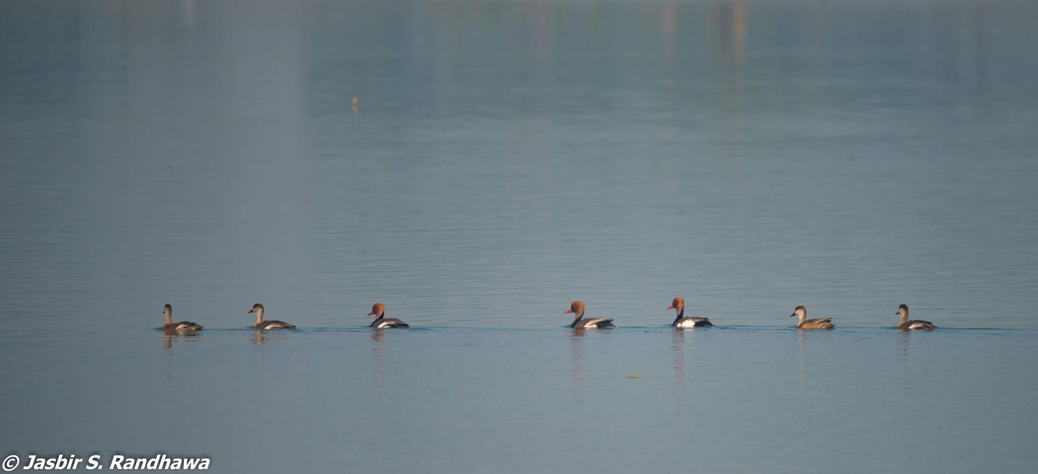 Red-crested Pochards (Netta rufina) by Jasbir S. Randhawa