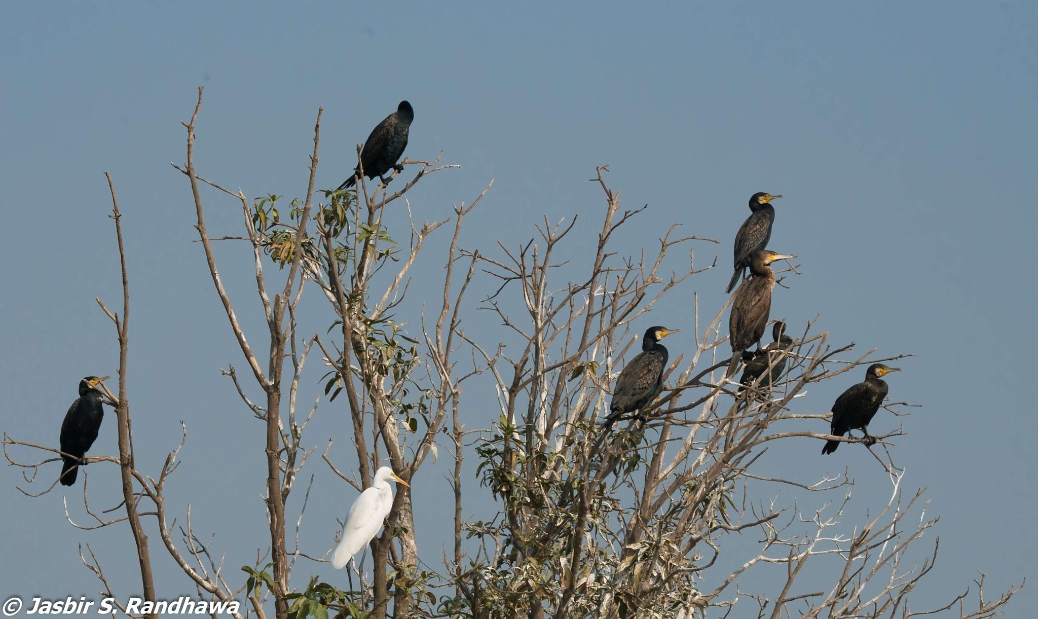 Great Cormorants (Phalacrocorax carbo)  and a Great Egret (Ardea alba) by Jasbir S. Randhawa