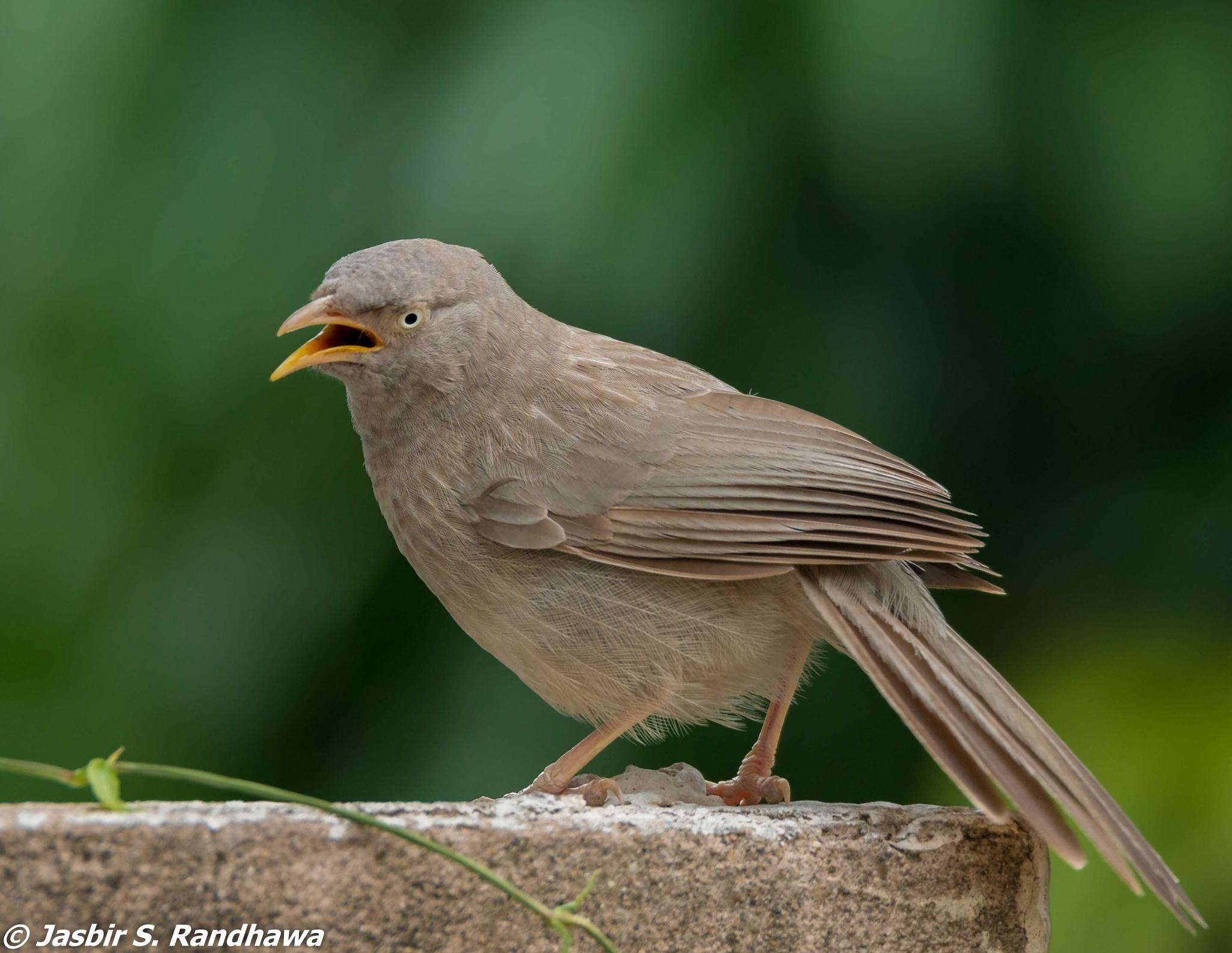 Jungle Babbler (Turdoides striata) by Jasbir S. Randhawa