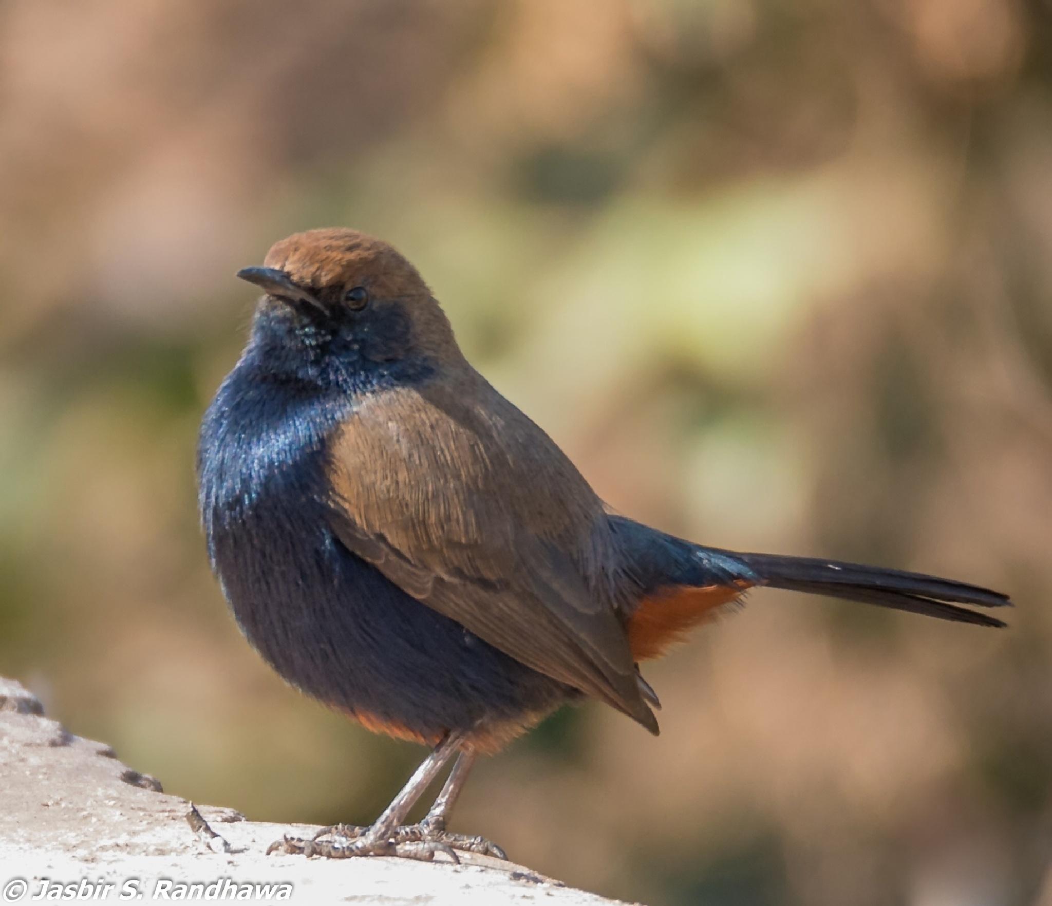 Indian Robin male (Saxicoloides fulicatus) by Jasbir S. Randhawa