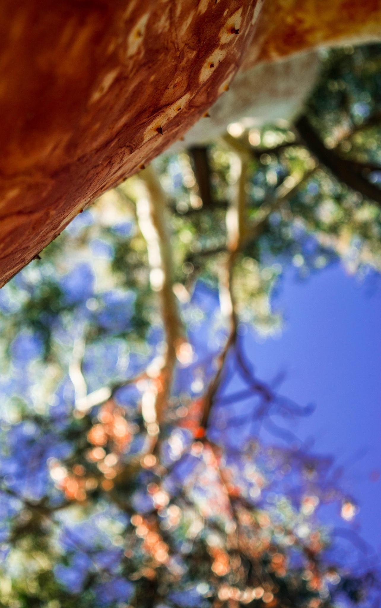 eucalyptus  by Maria Kanata